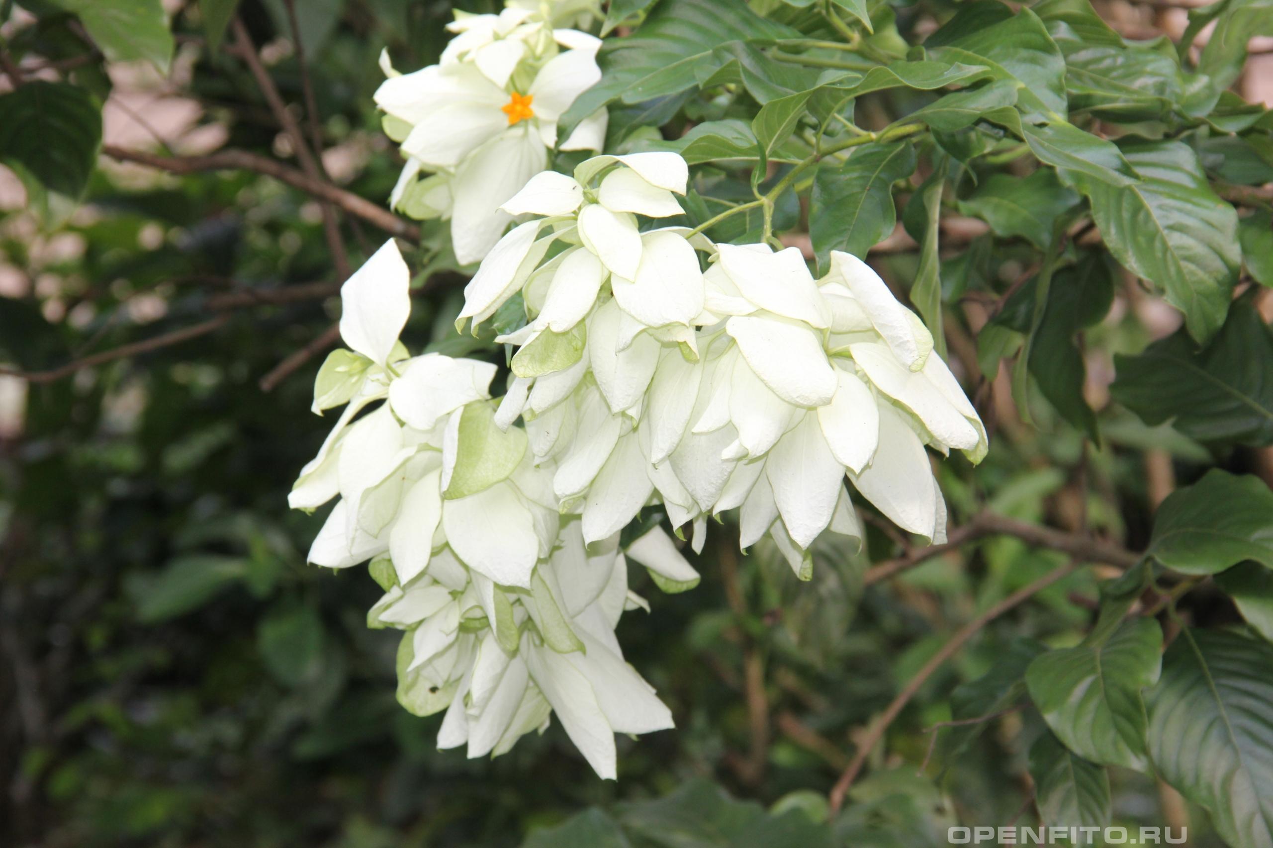 Муссенда густооблиственная <p>белые - это листья</p>