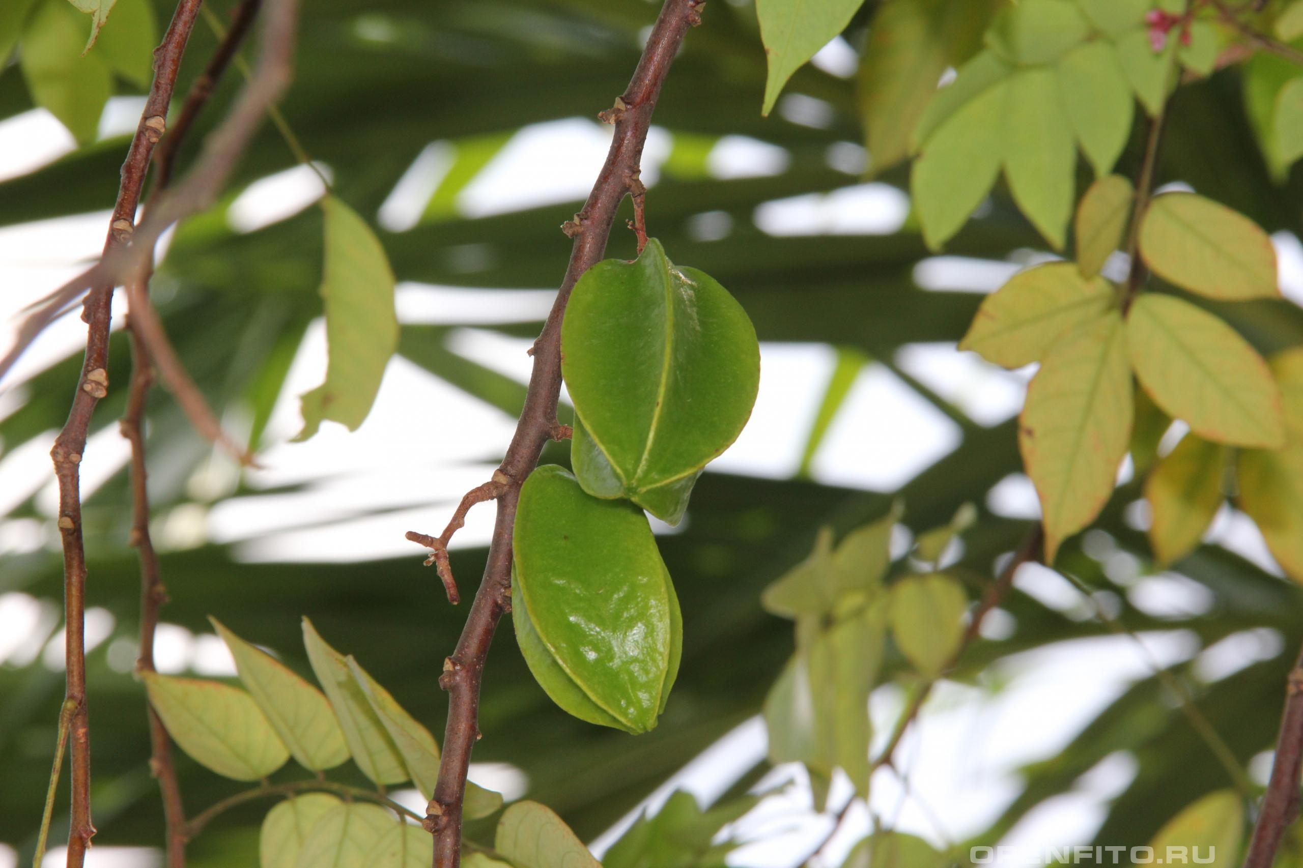 Аверойя карамбола вкусный экзотический фрукт