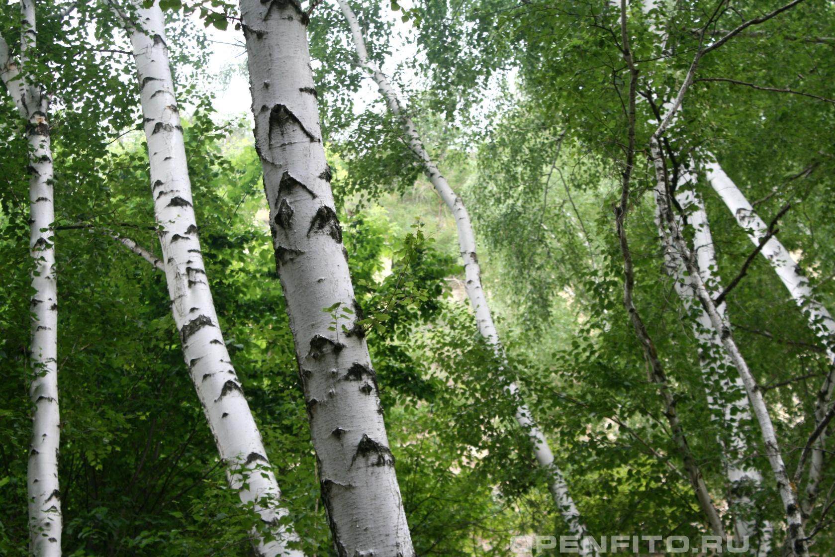 Береза белая <p>Фотографии Щербаковской балки Волгоградской области</p>