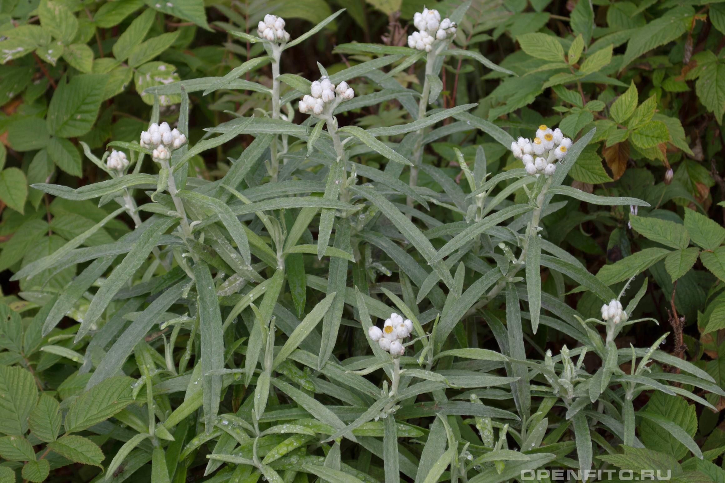 Анафалис жемчужный так же в литературе упоминается как коричный, узколистный, западный, шерстистый, японский