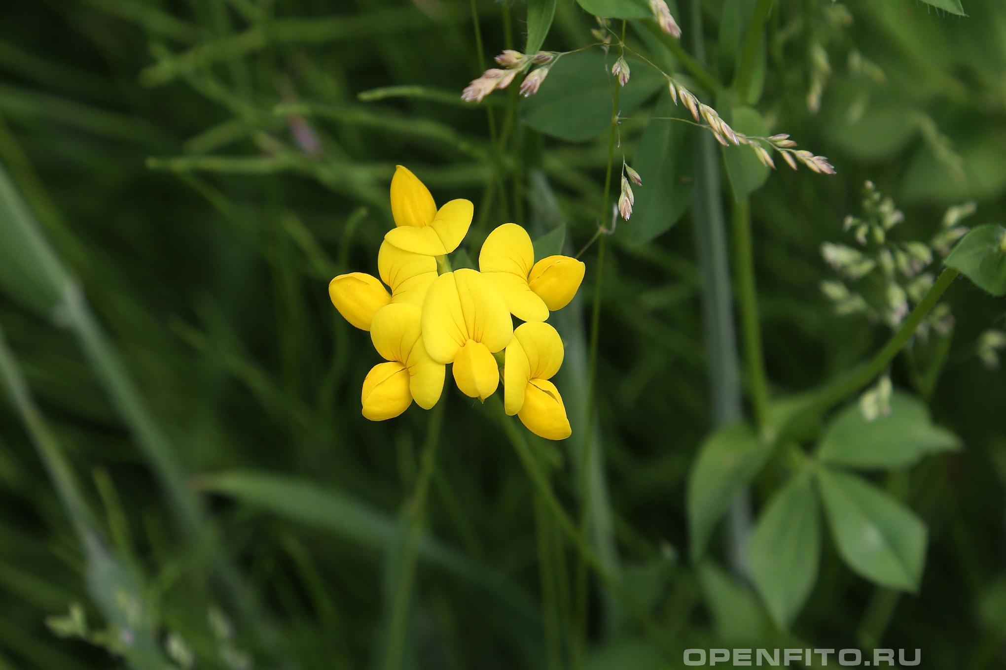 Лядвенец рогатый лекарственное растение
