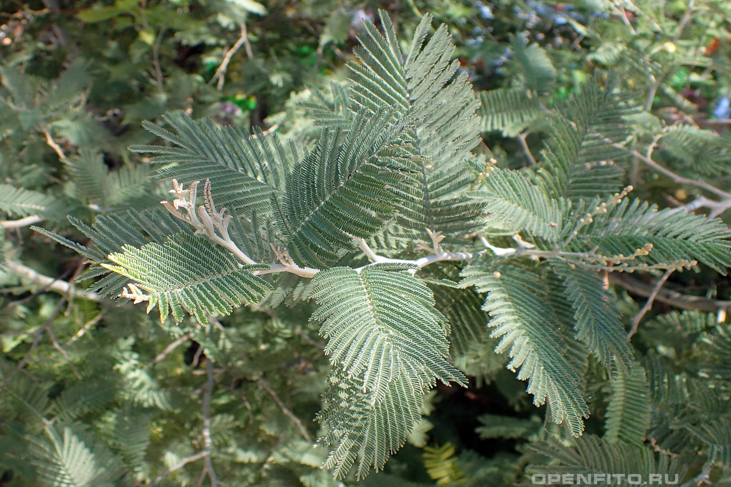 Акация подбеленная молодые листья дерева