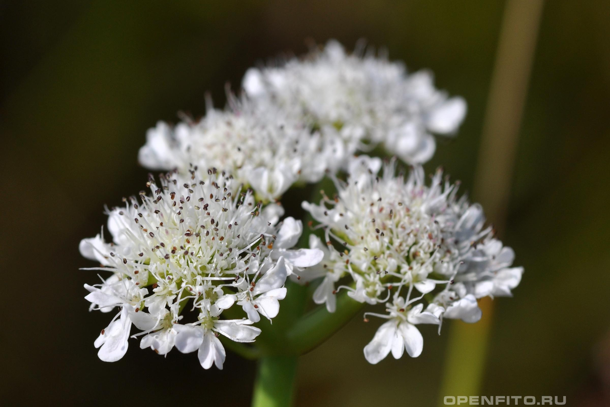 Омежник дудчатый редкое растение