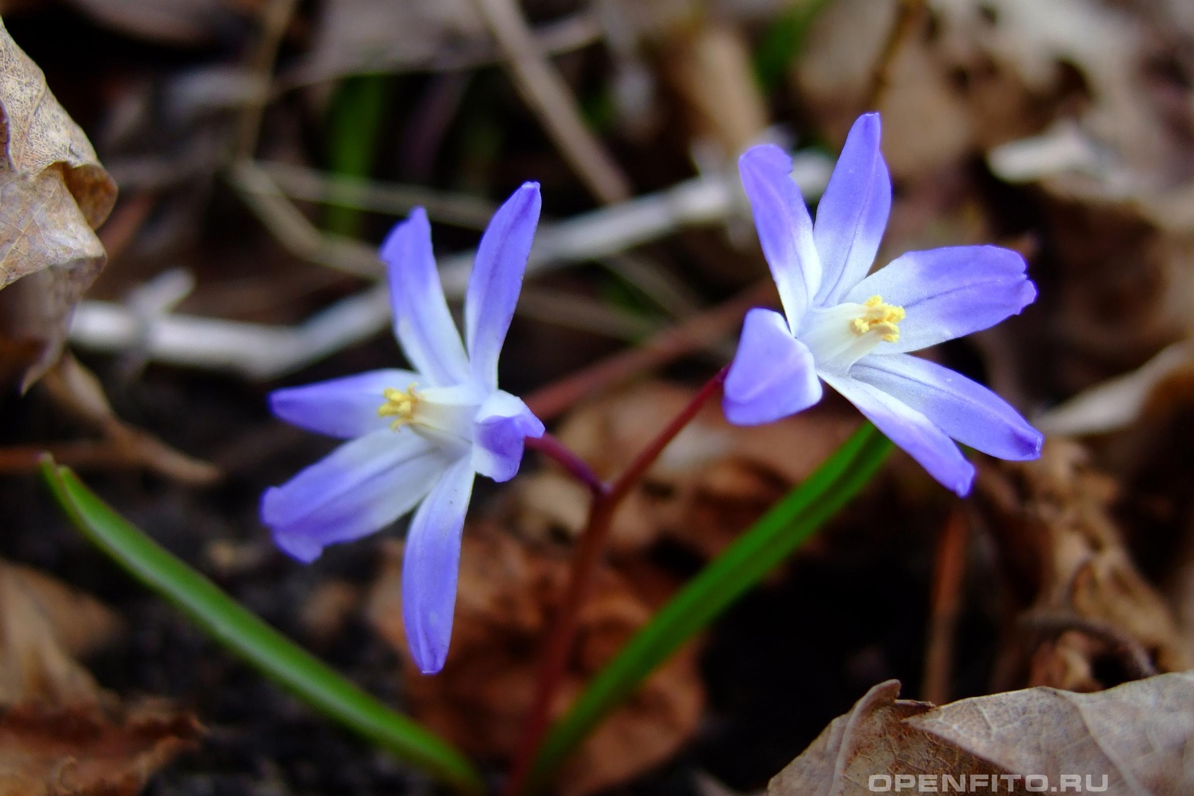 Хионодокса так выглядят цветы всего рода Chionodoxa
