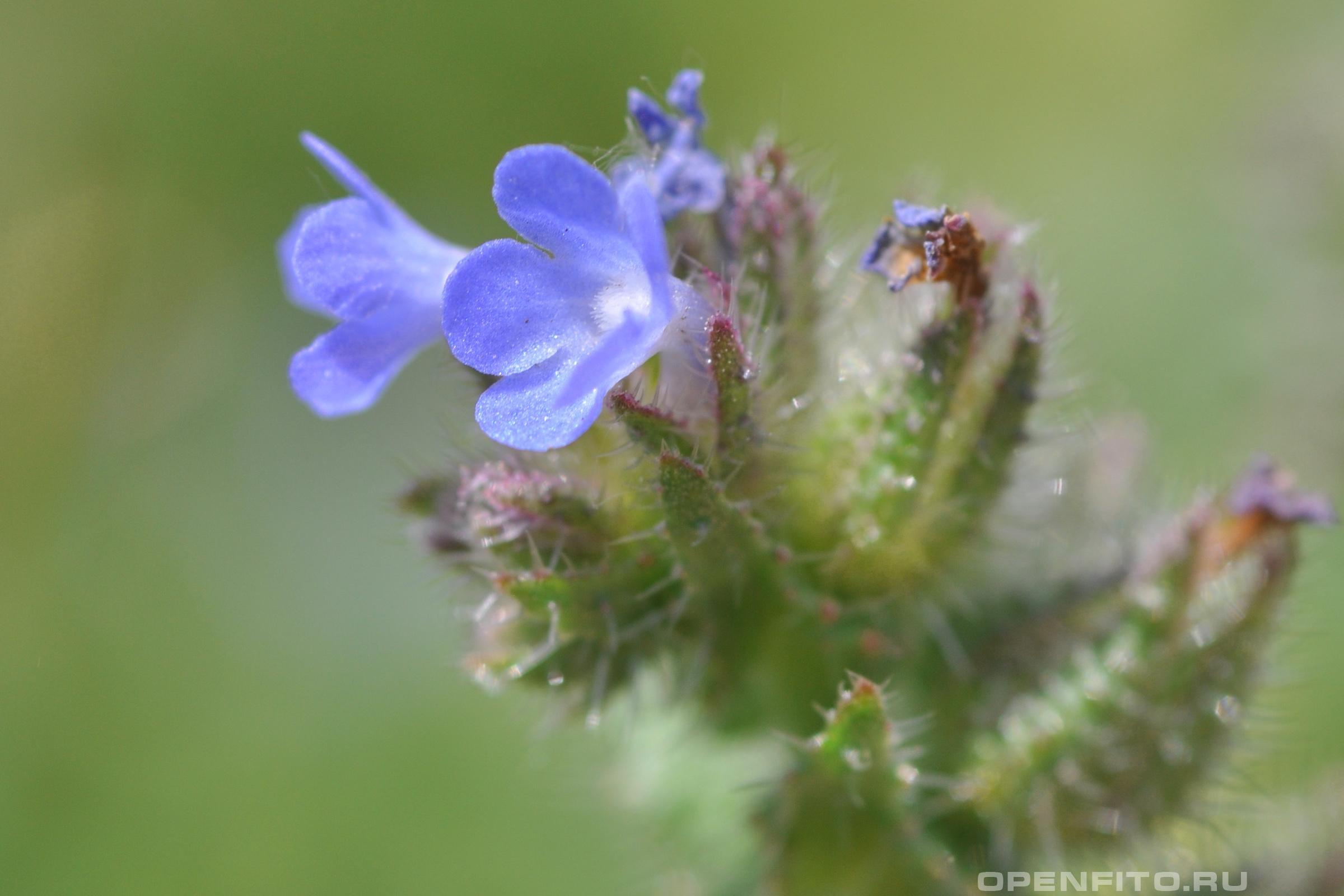 Кривоцвет полевой анзуха или воловик полевой, очень маленькие цветочки