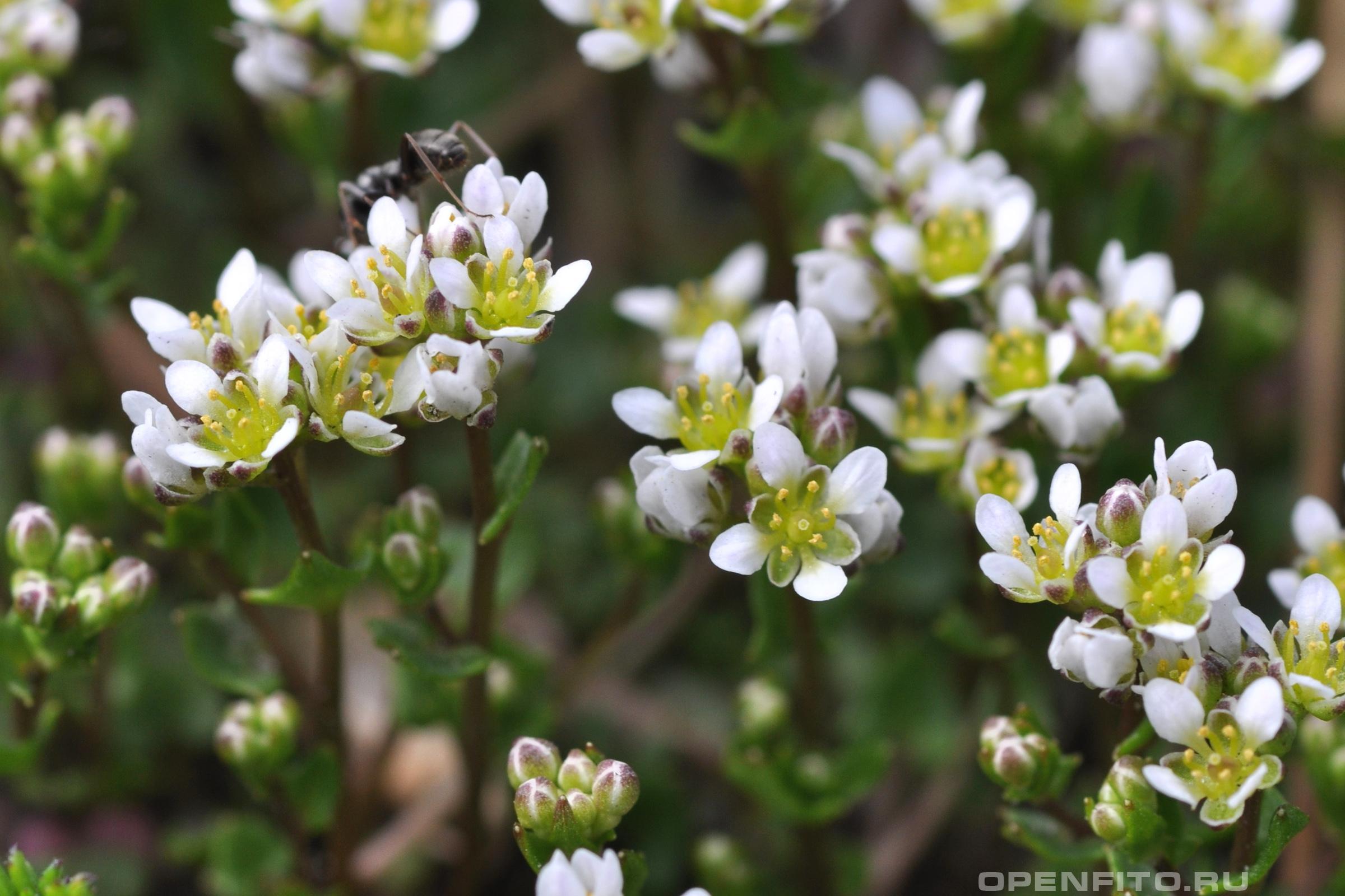 Ложечница датская маленькие цветочки