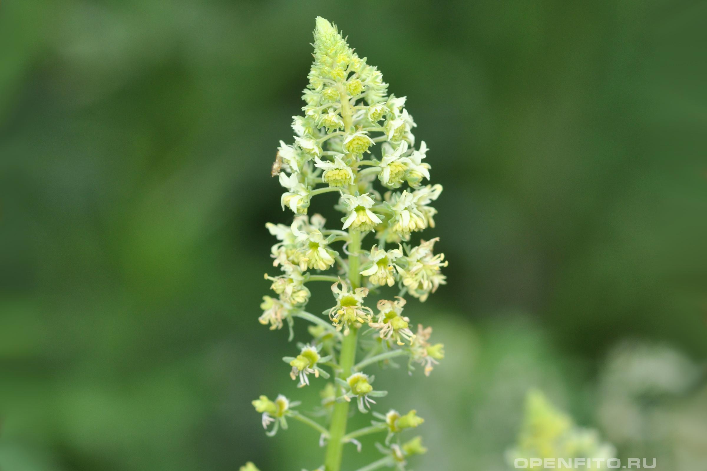 Резеда жёлтая лекарственное растение