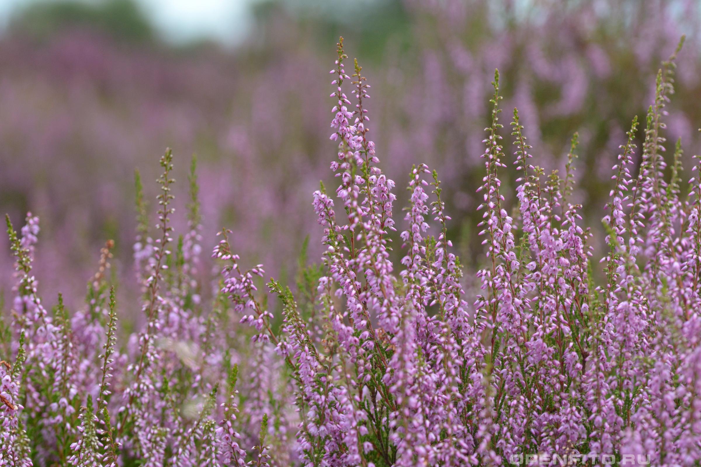 Вереск обыкновенный заросли чайного растения