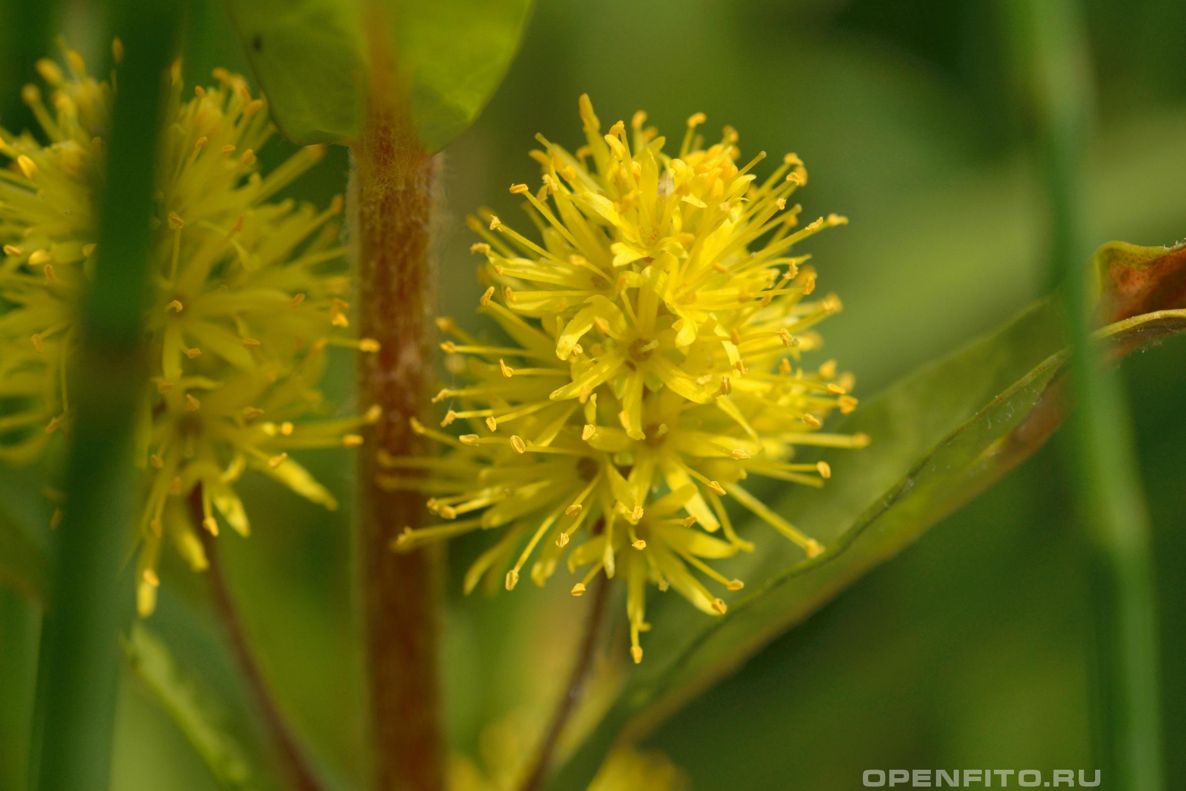 Кизляк кистецветный или Наумбургия кистецветковая или кизляк болотный