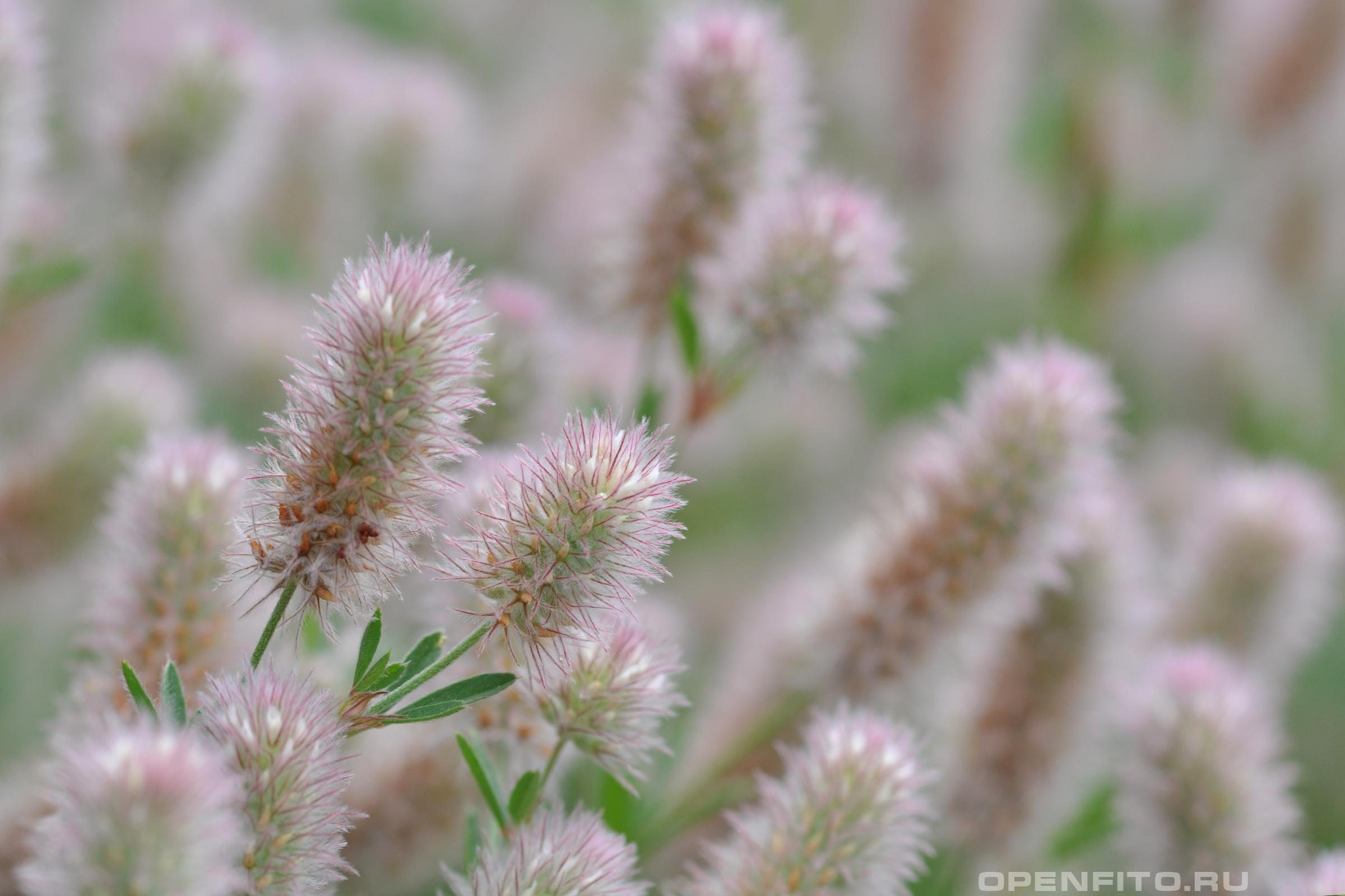 Клевер пашенный пушистые розоватые цветки травы сохраняют форму даже после сушки