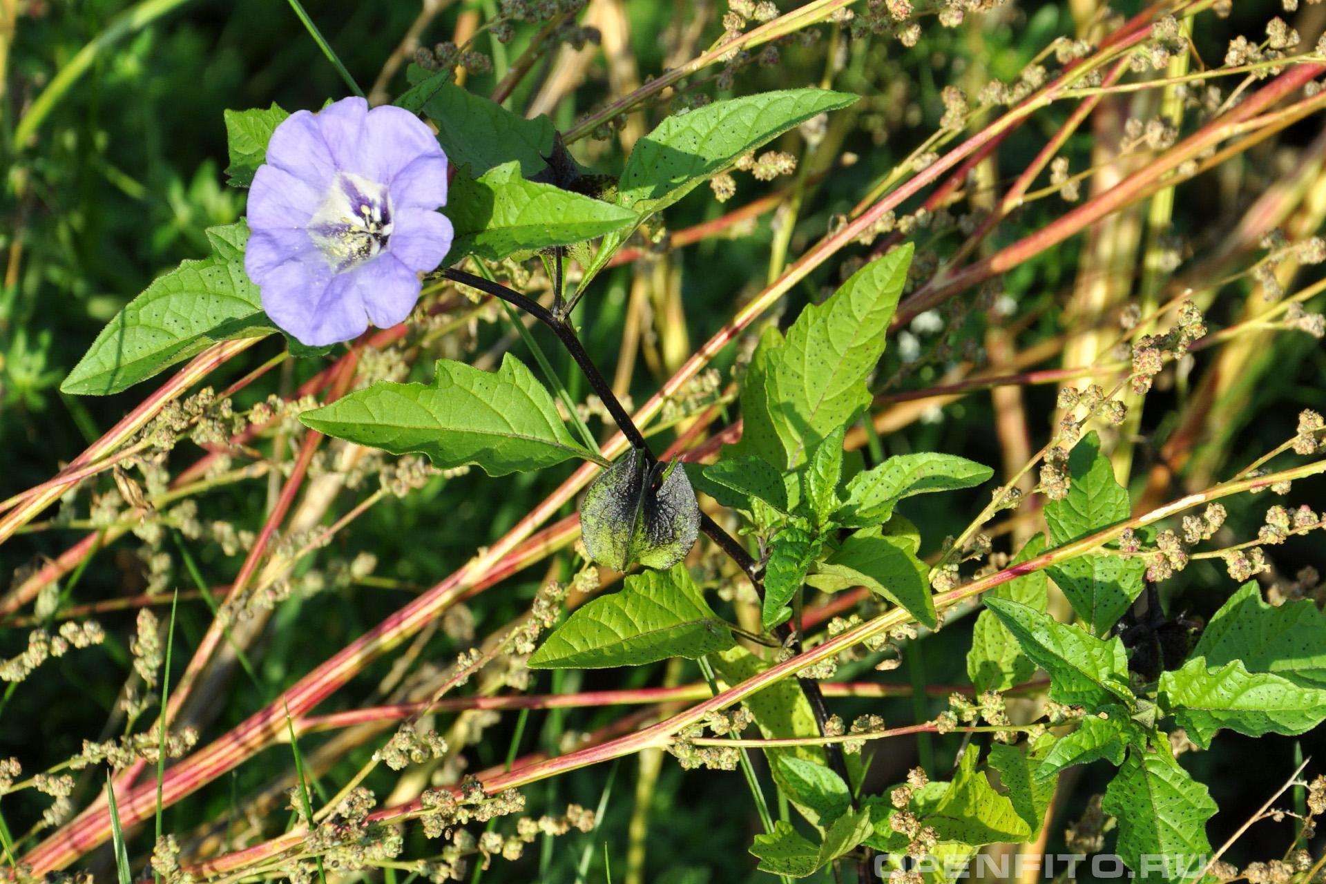 Никандра физалисовидная его называют огородный xмель