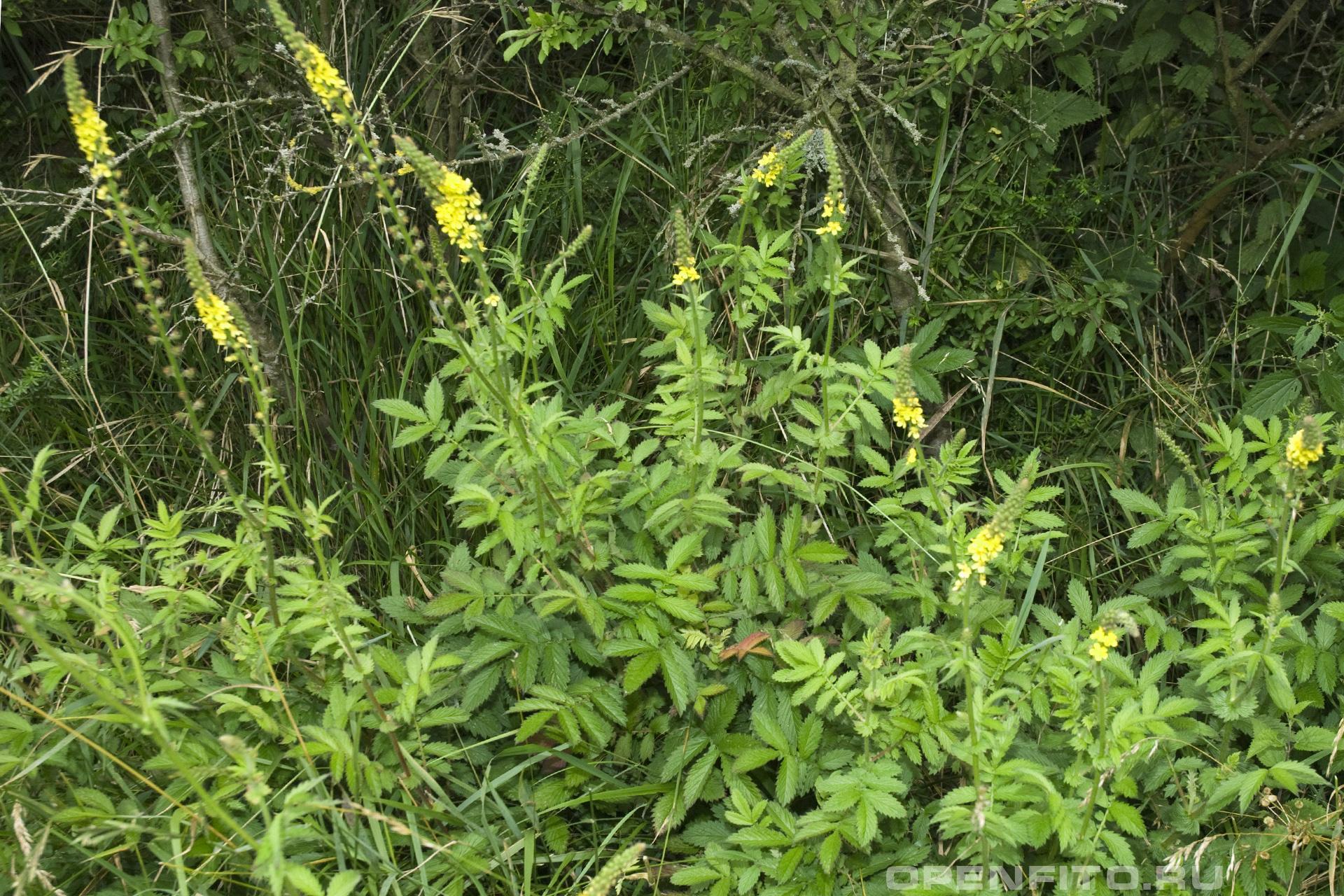 Репешок аптечный цветущее растение