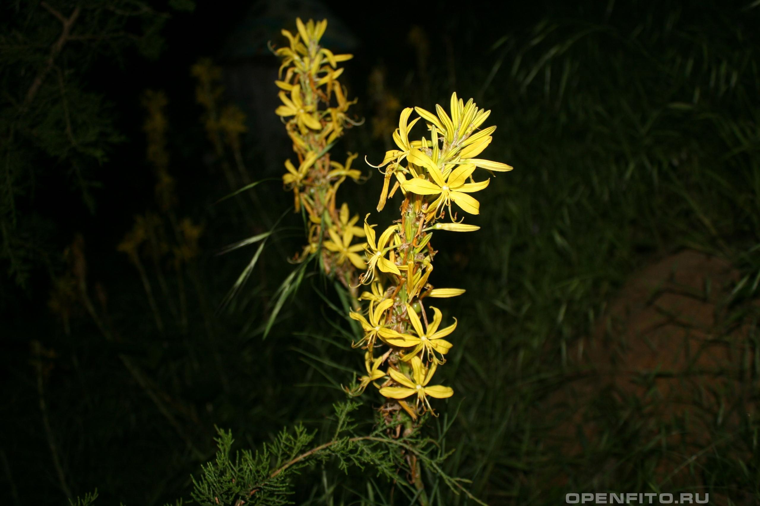 Асфоделина жёлтая соцветие