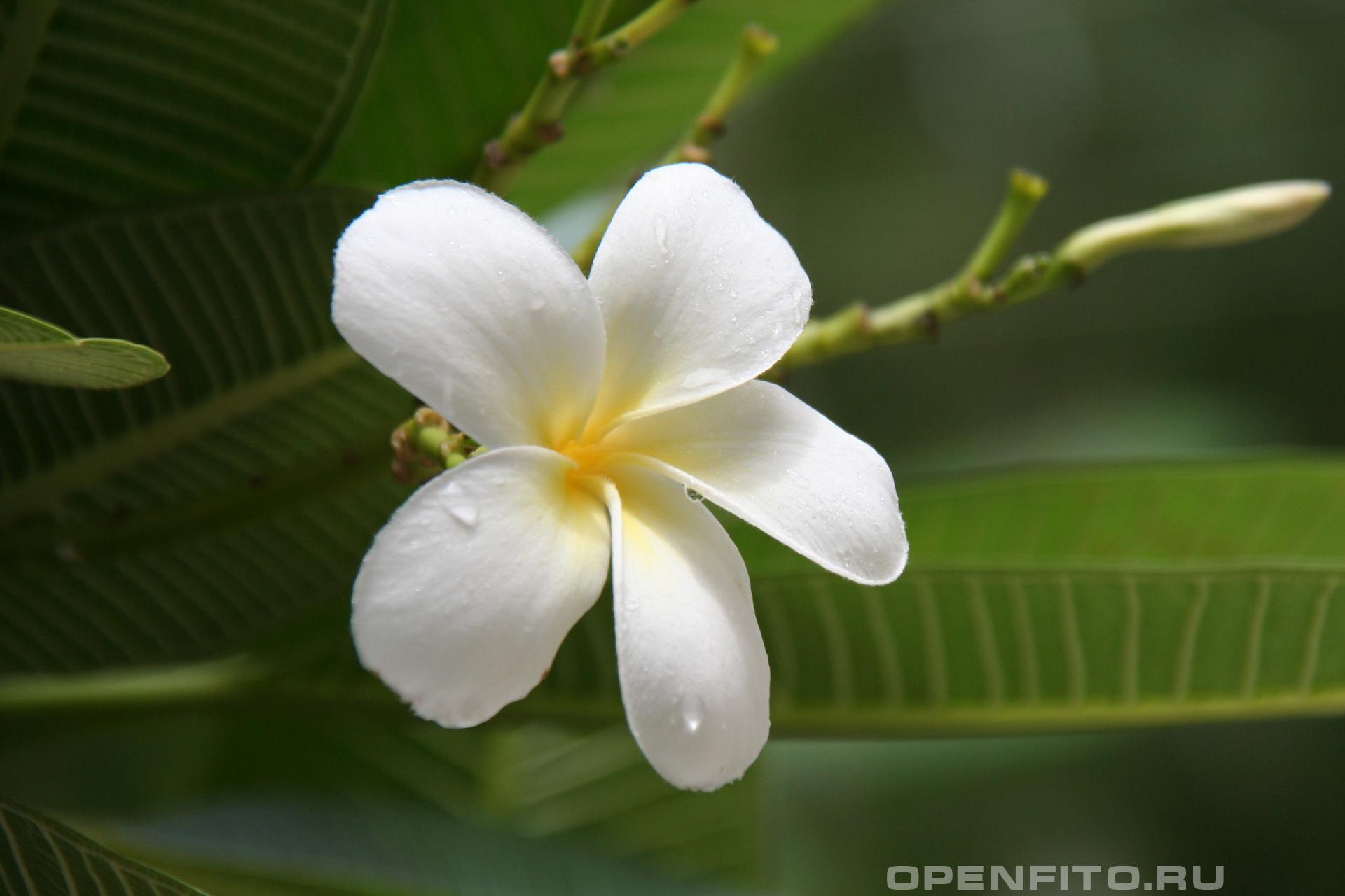 Плюмерия остролистная цветок крупным планом