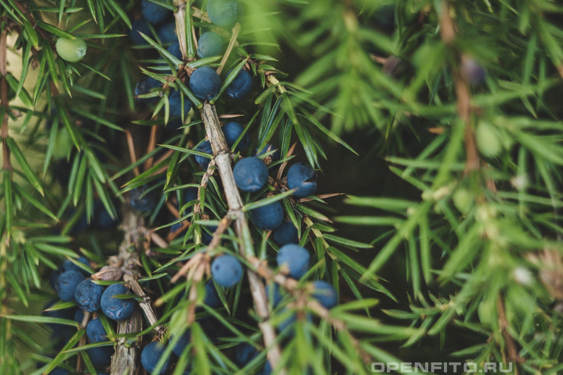 Можжевельник обыкновенный зрелые плоды