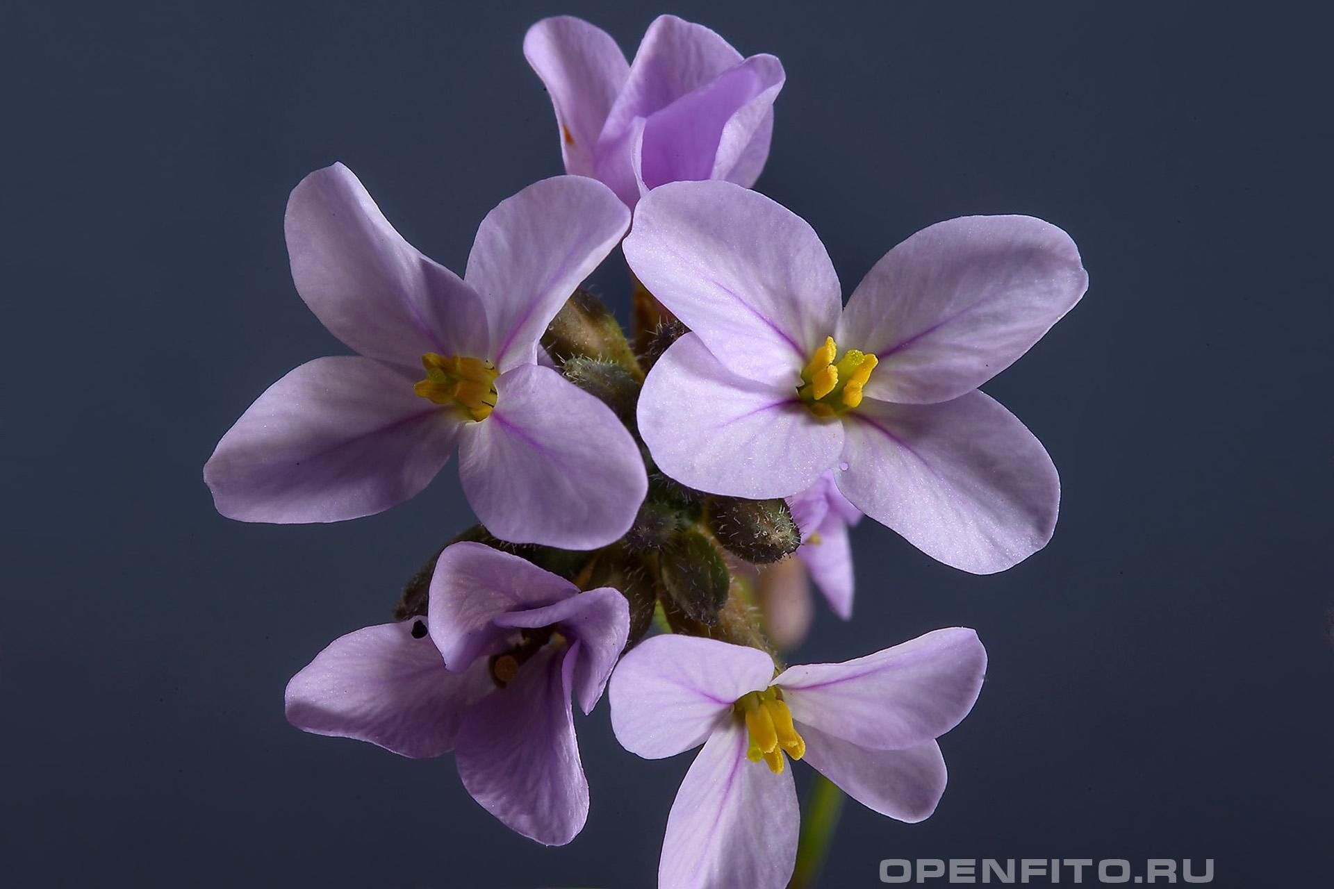 Эрукария Все цветки этого рода выглядят одинаково