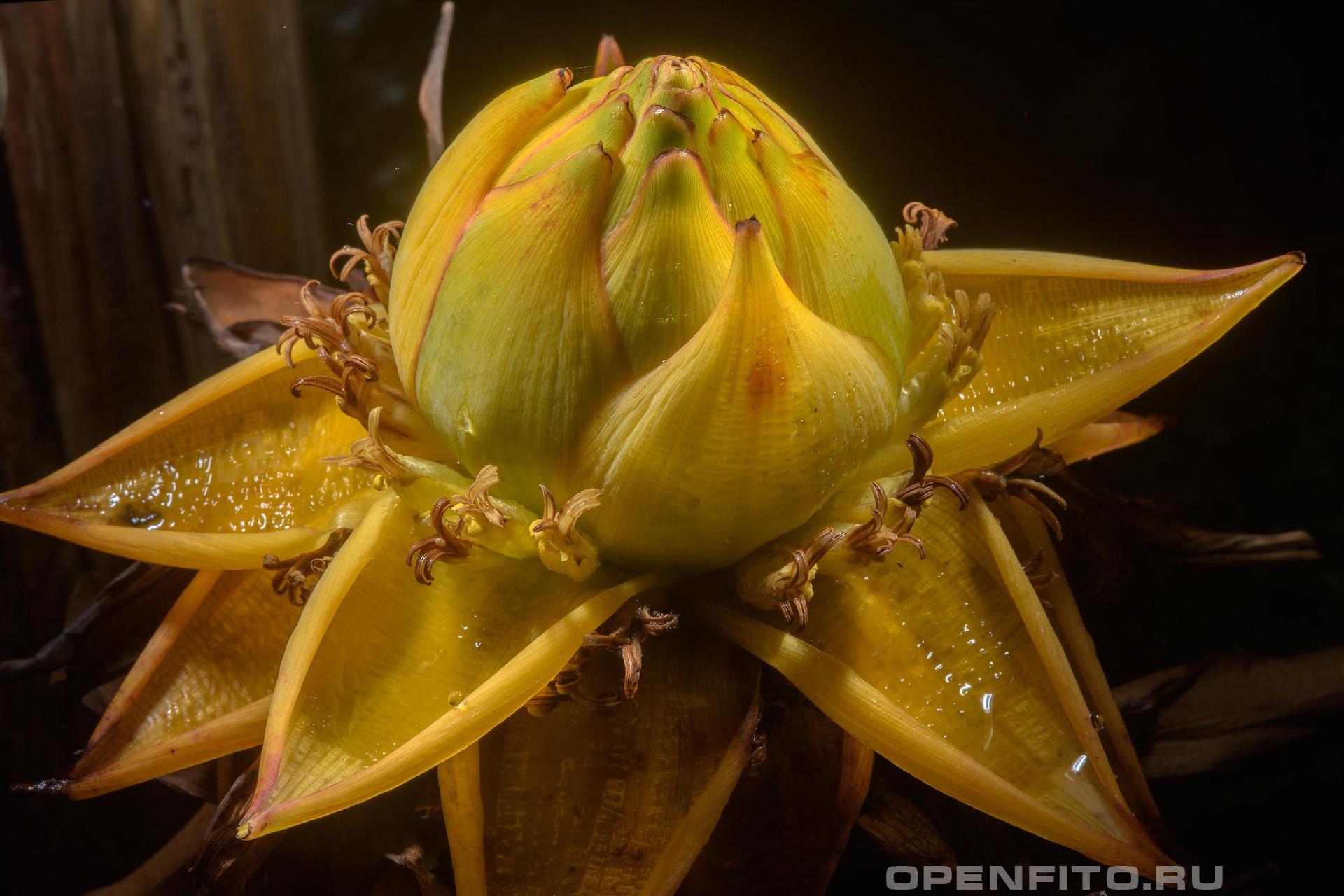 Энсета шершавоплодная золотой лотос
