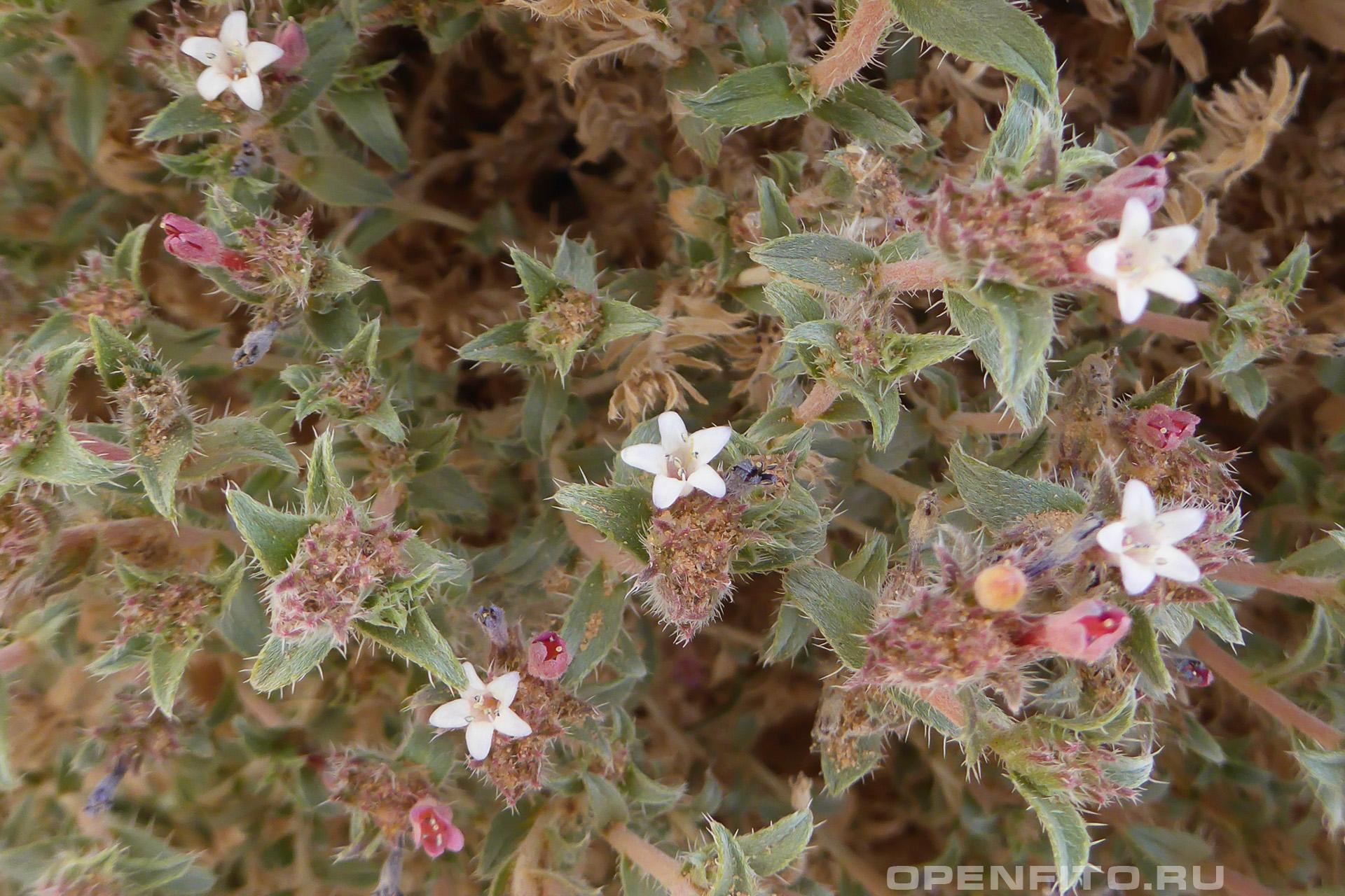 Мольткиопсис реснитчатый пустынное растение