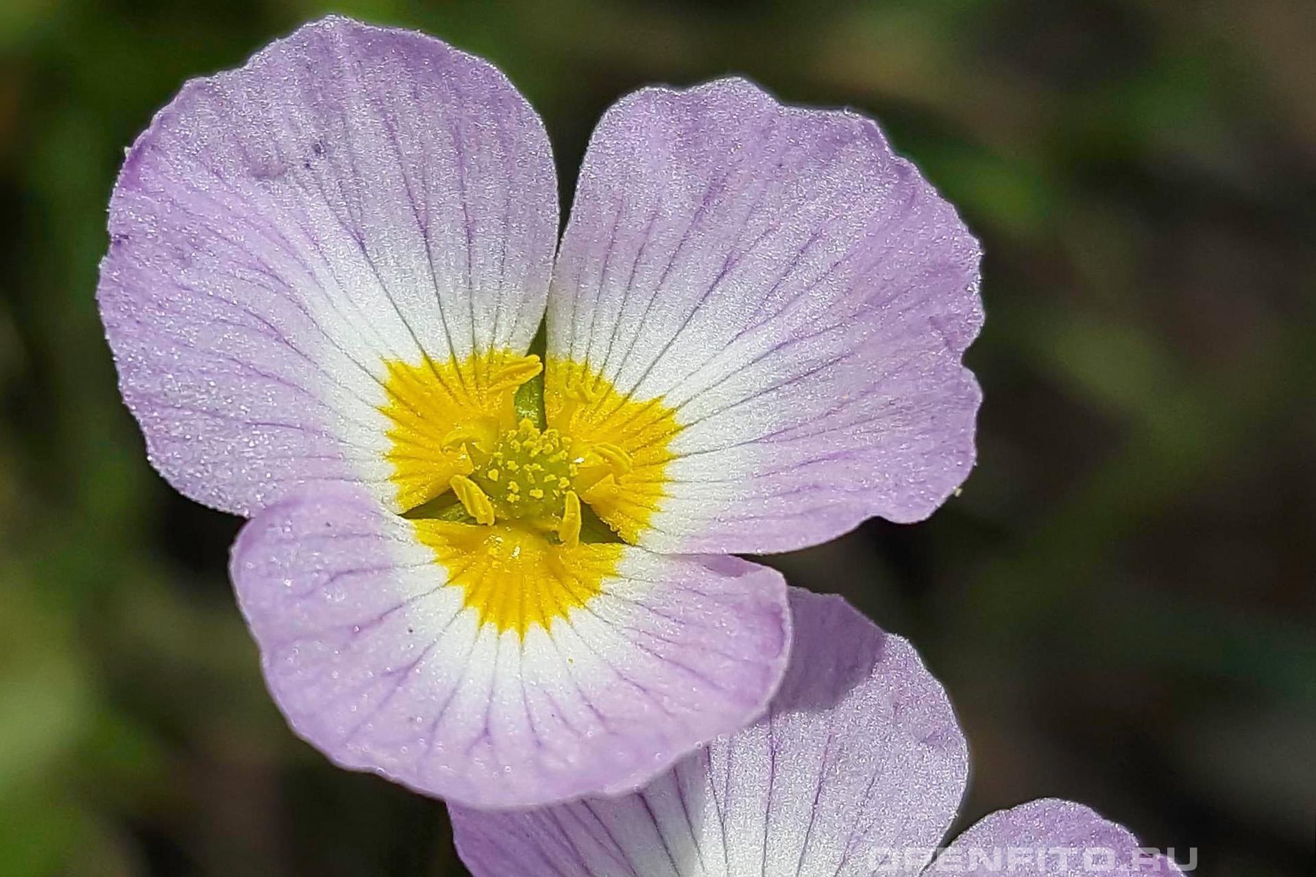 Бальделлия лютиковидная цветки собраны в рыхлое зонтиковидное соцветие