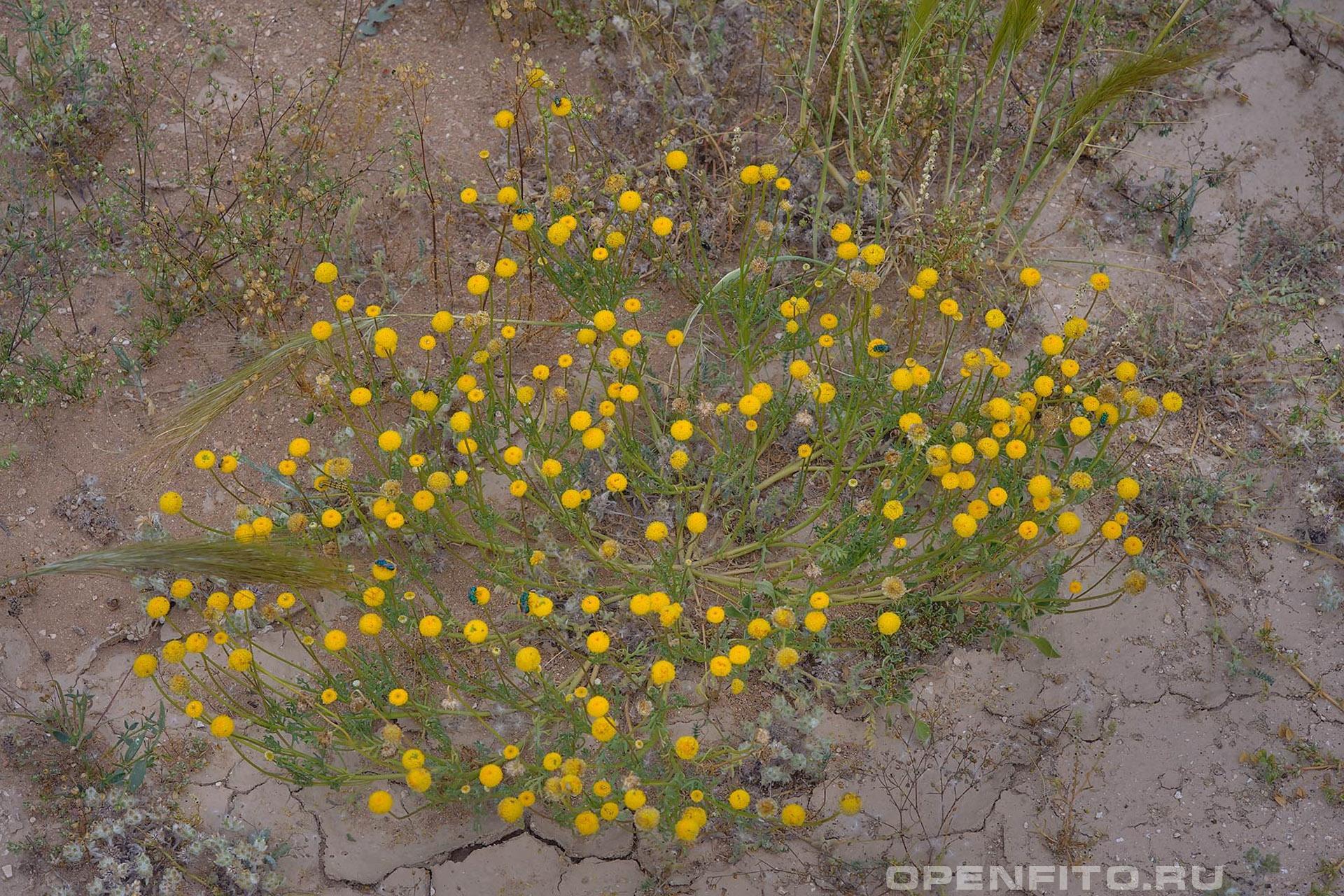 Ааронсония Факторовского взрослая цветущая трава