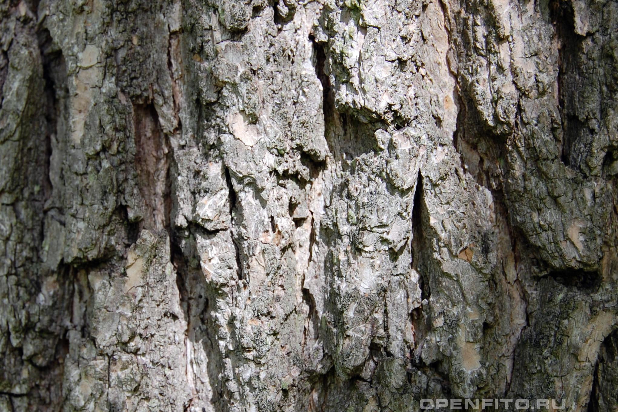 Ясень обыкновенный кора взрослого дерева