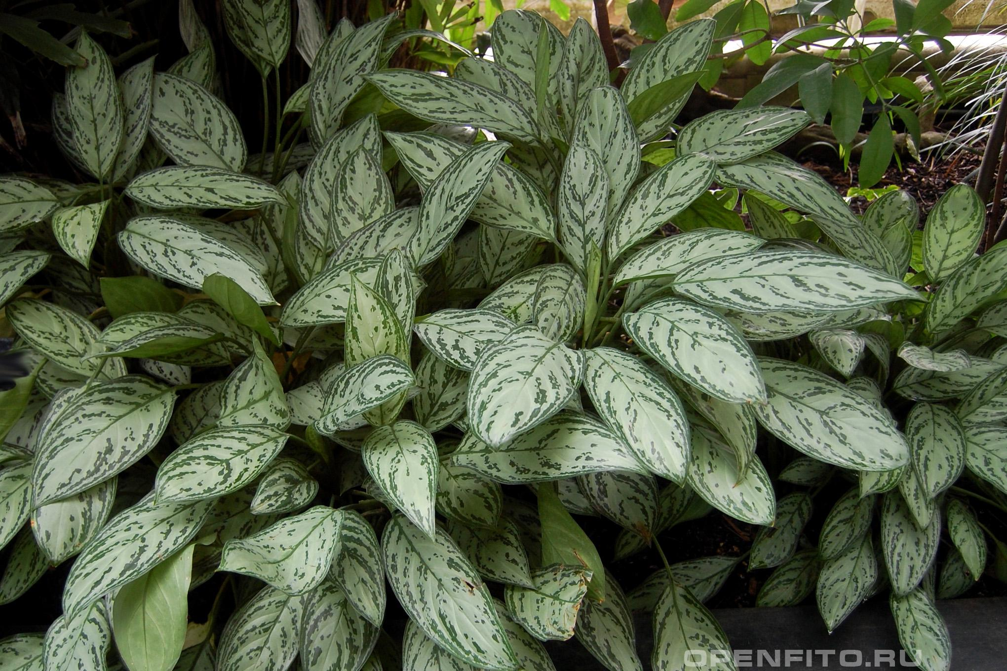 Аглаонема изменчивая в Европе это растение называют