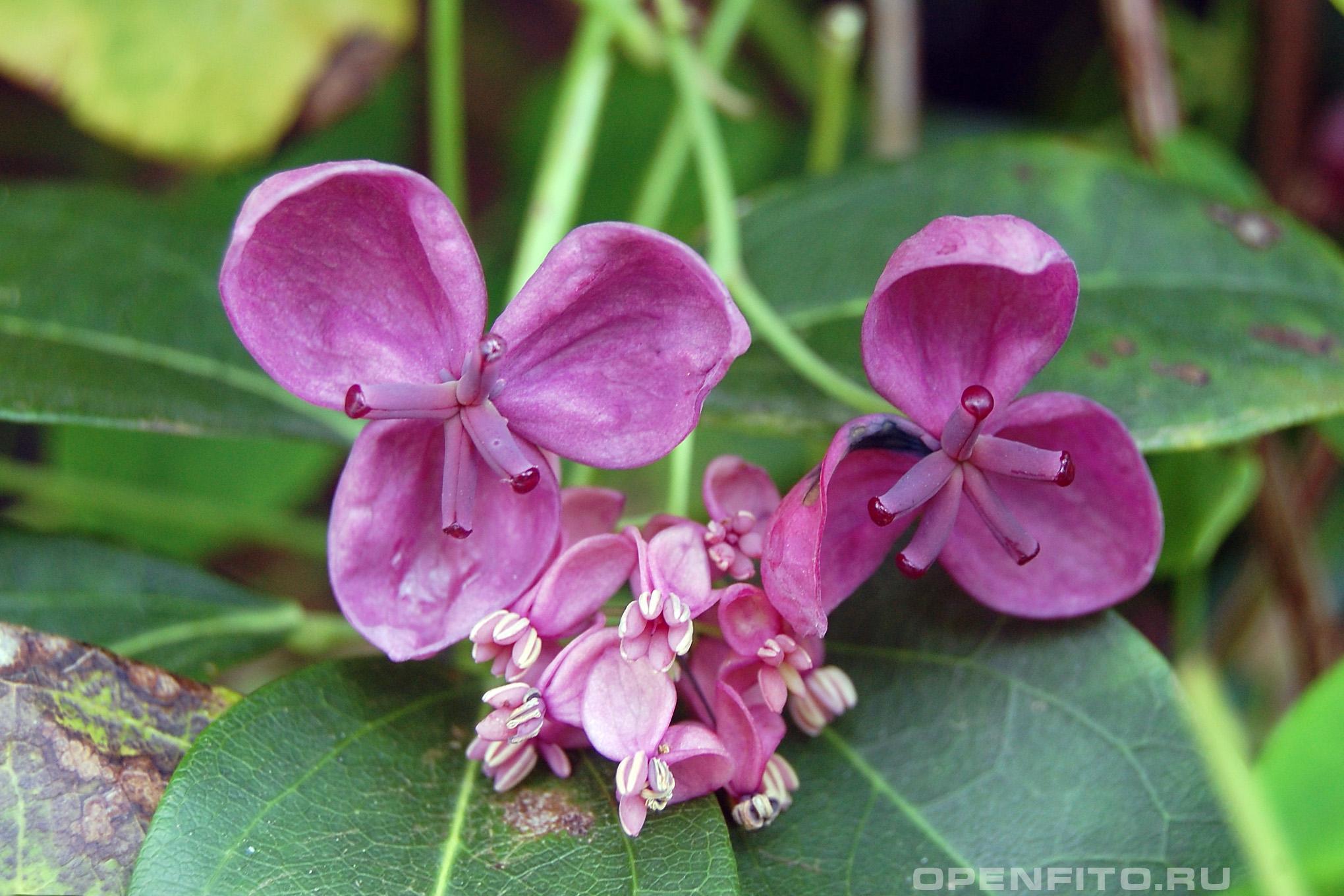 Акебия пятерная или акебия пятилисточковая