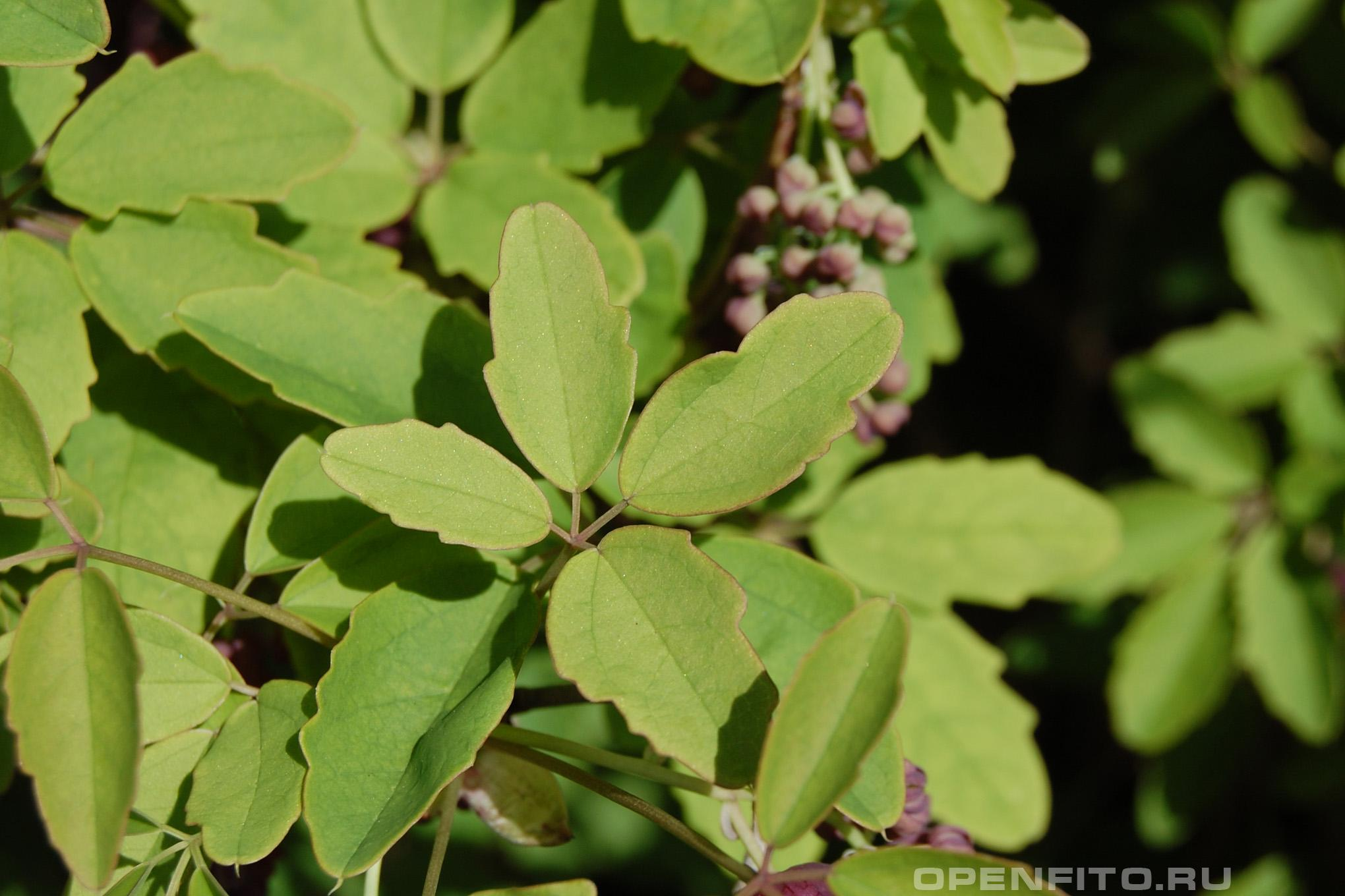 Акебия трёхлисточковая листья растения