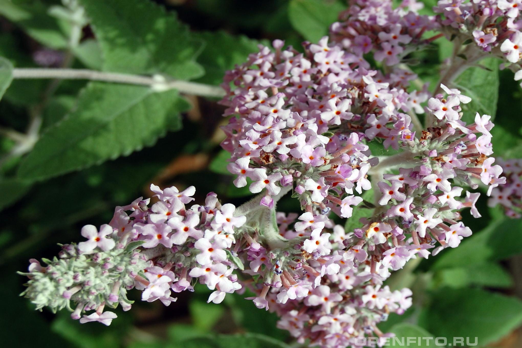 Буддлея курчавая иногда его называют бабочковый куст