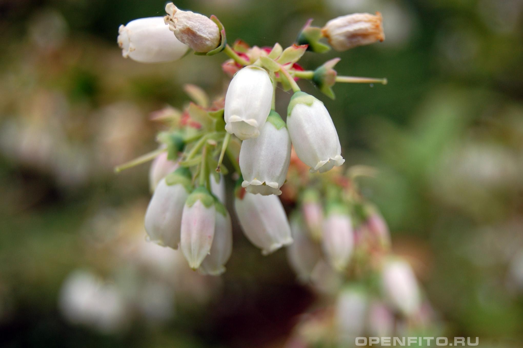 Голубика <p>многолетнее культурное растение</p>