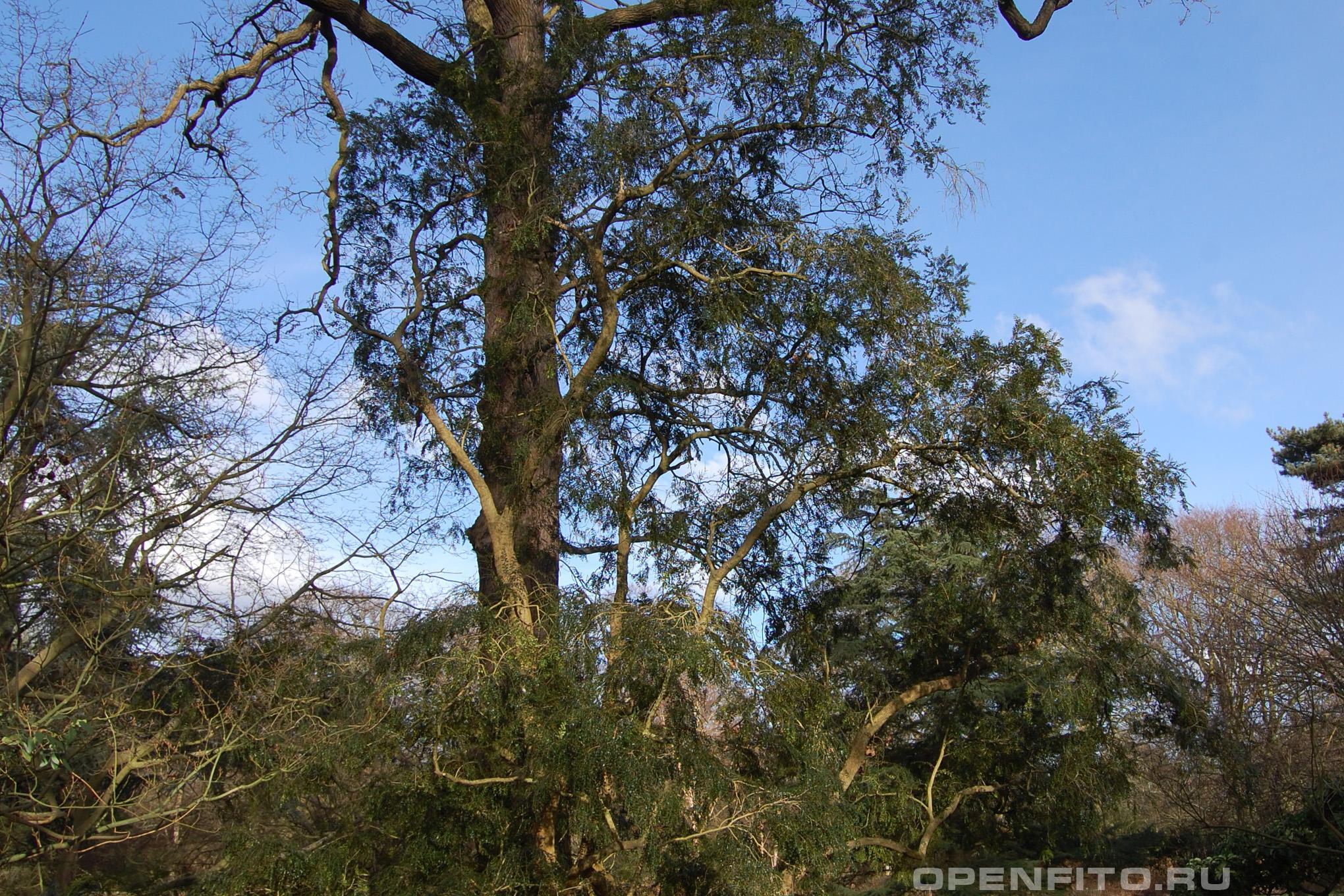 Азара мелколистная нижняя часть дерева