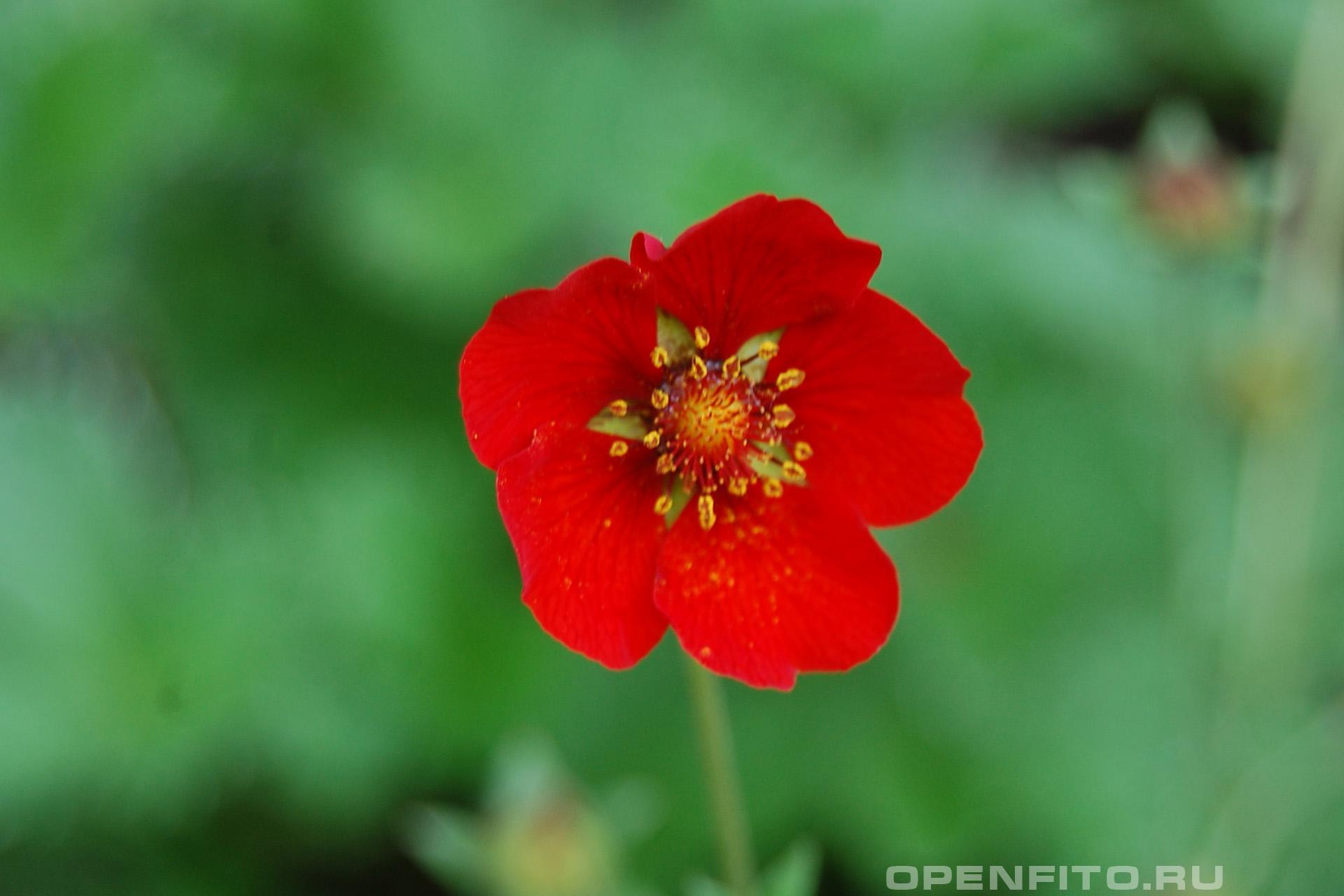 Лапчатка тёмно-красная или Лапчатка тёмно-красная серебристолистная