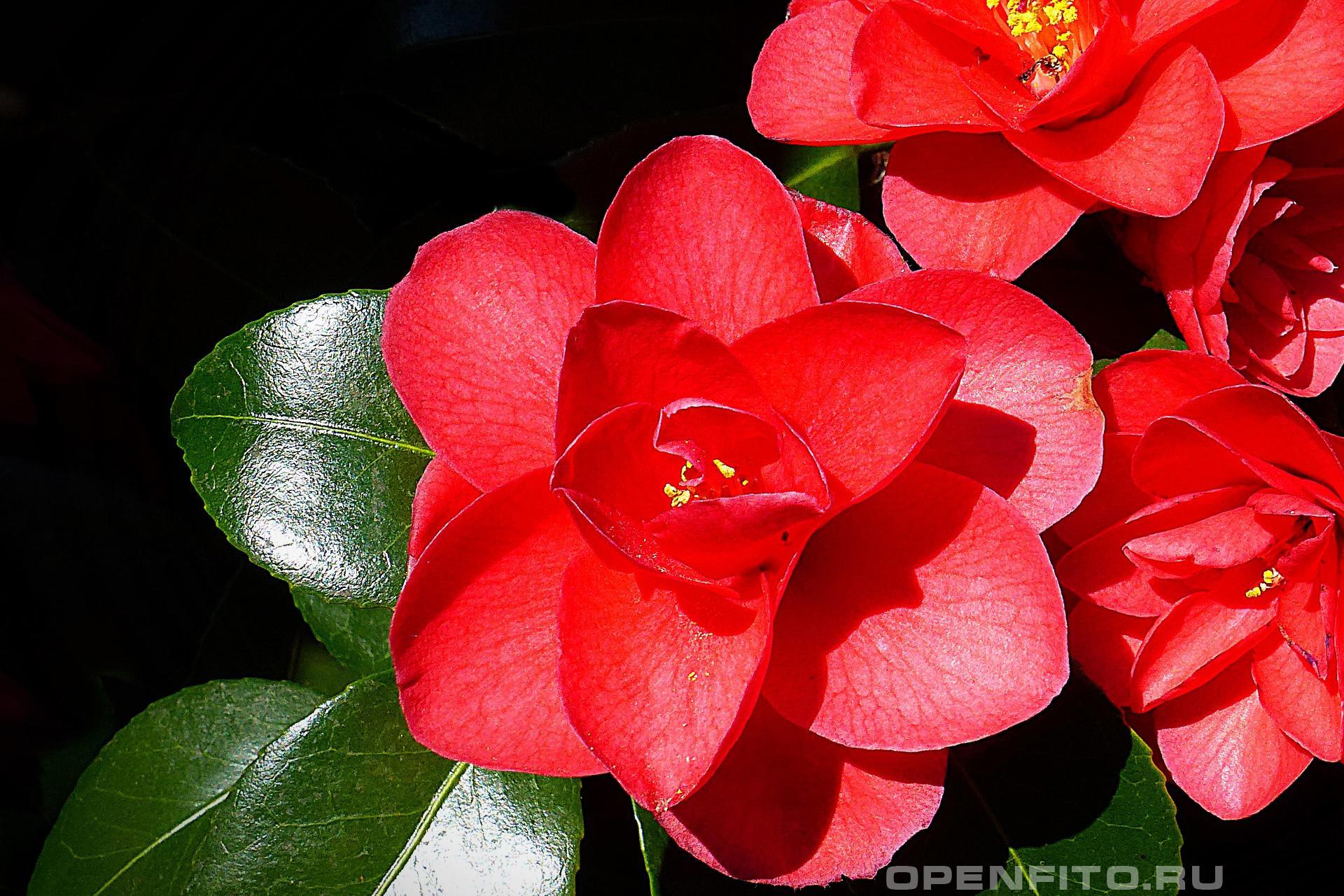 Камелия японская цветы камелии крупным планом