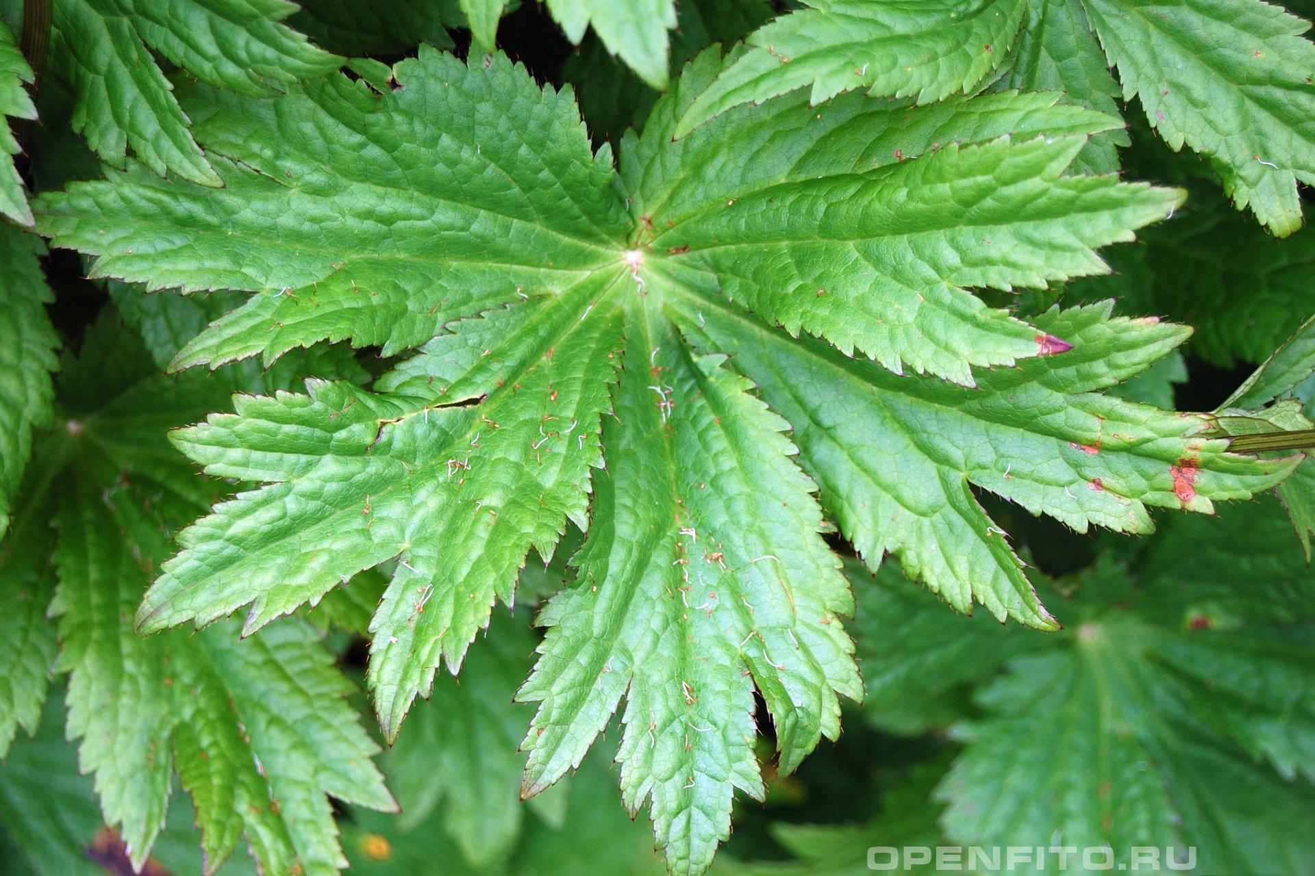 Звездовка большая лист травы