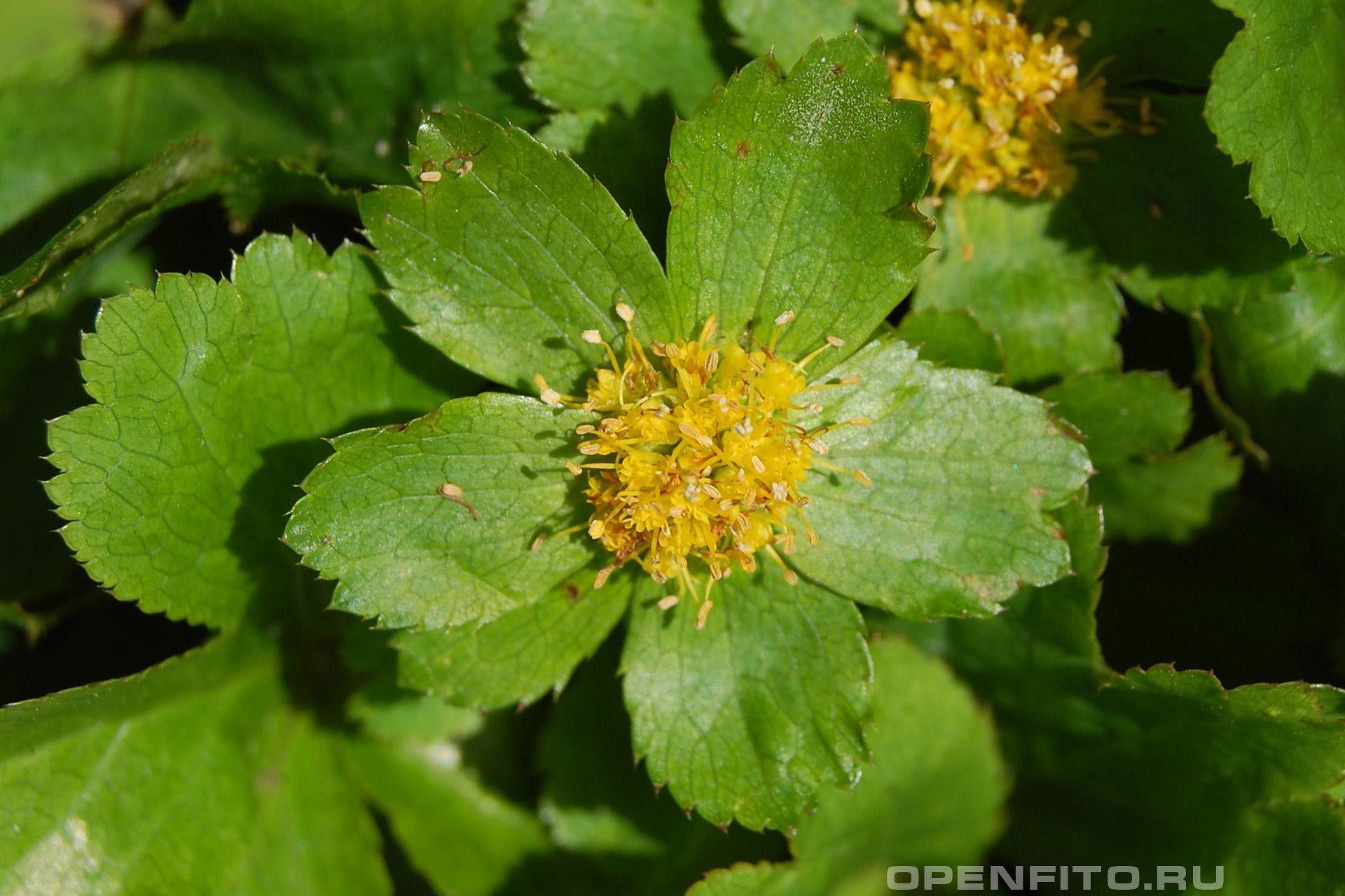 Звездовка дремликовая иногда этот цветок называют гакветия эпипактис