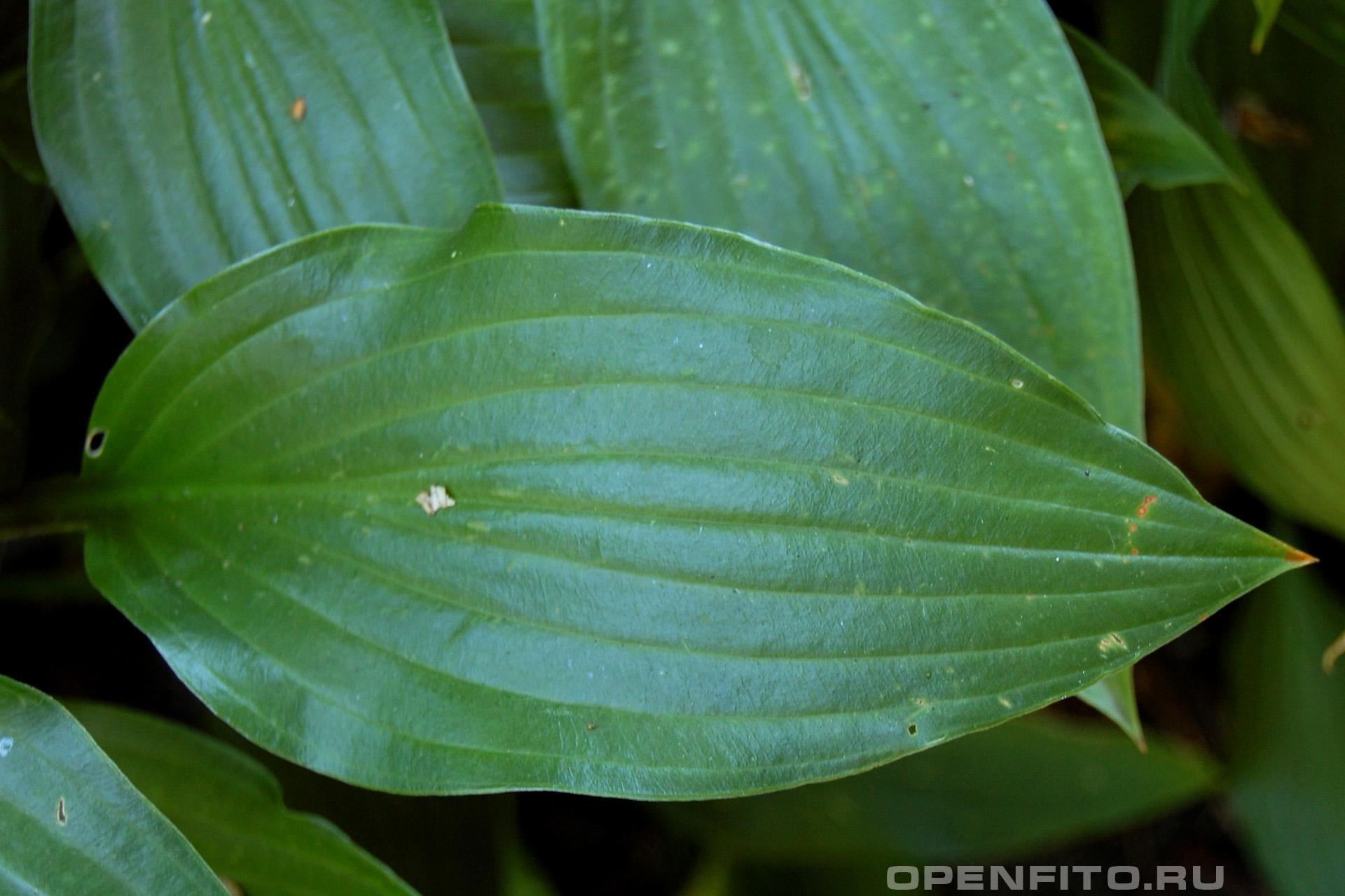 Хоста ланцетолистная ланцетный лист