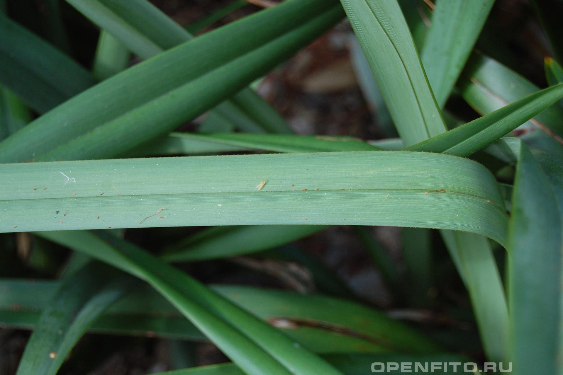 Дианелла тасманийская лист травы