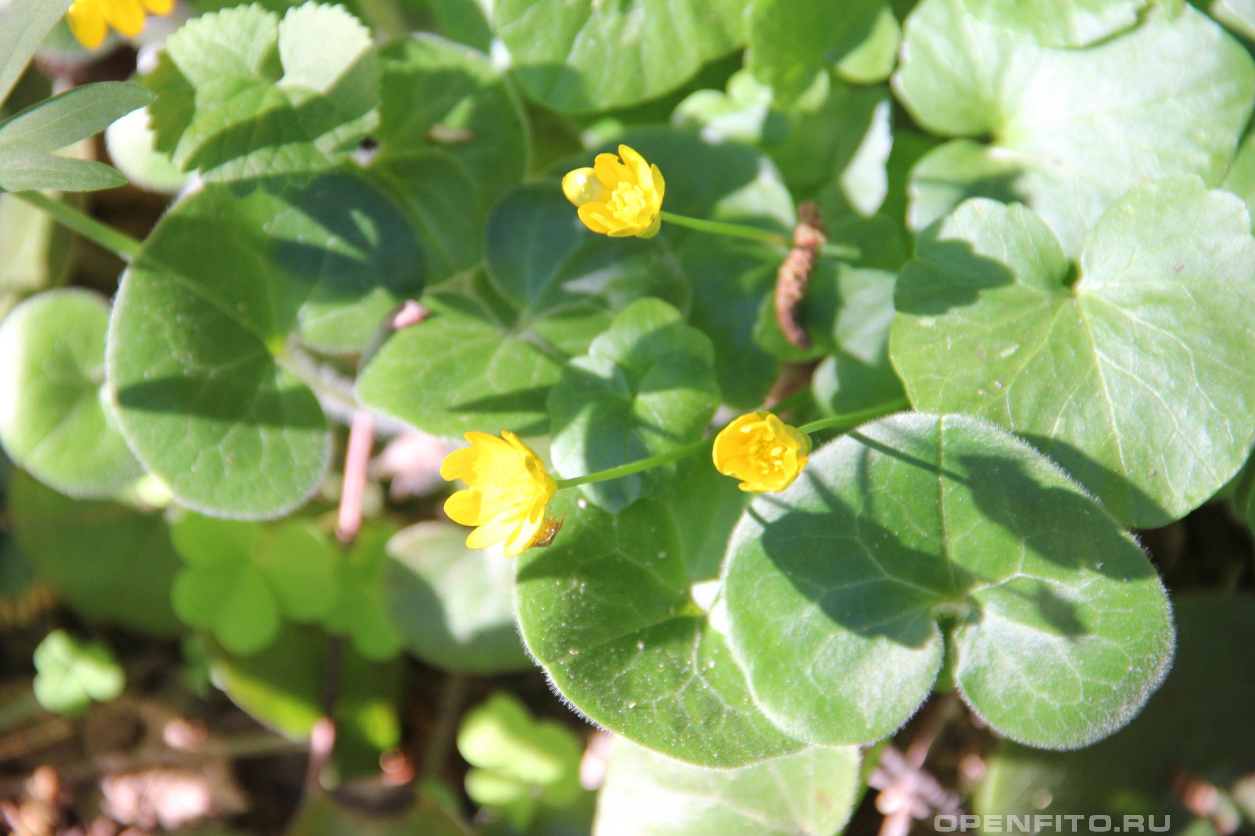 Чистяк весенний <p>цветущее весеннее растение чистяк лютичный или лютик чистяковый</p>