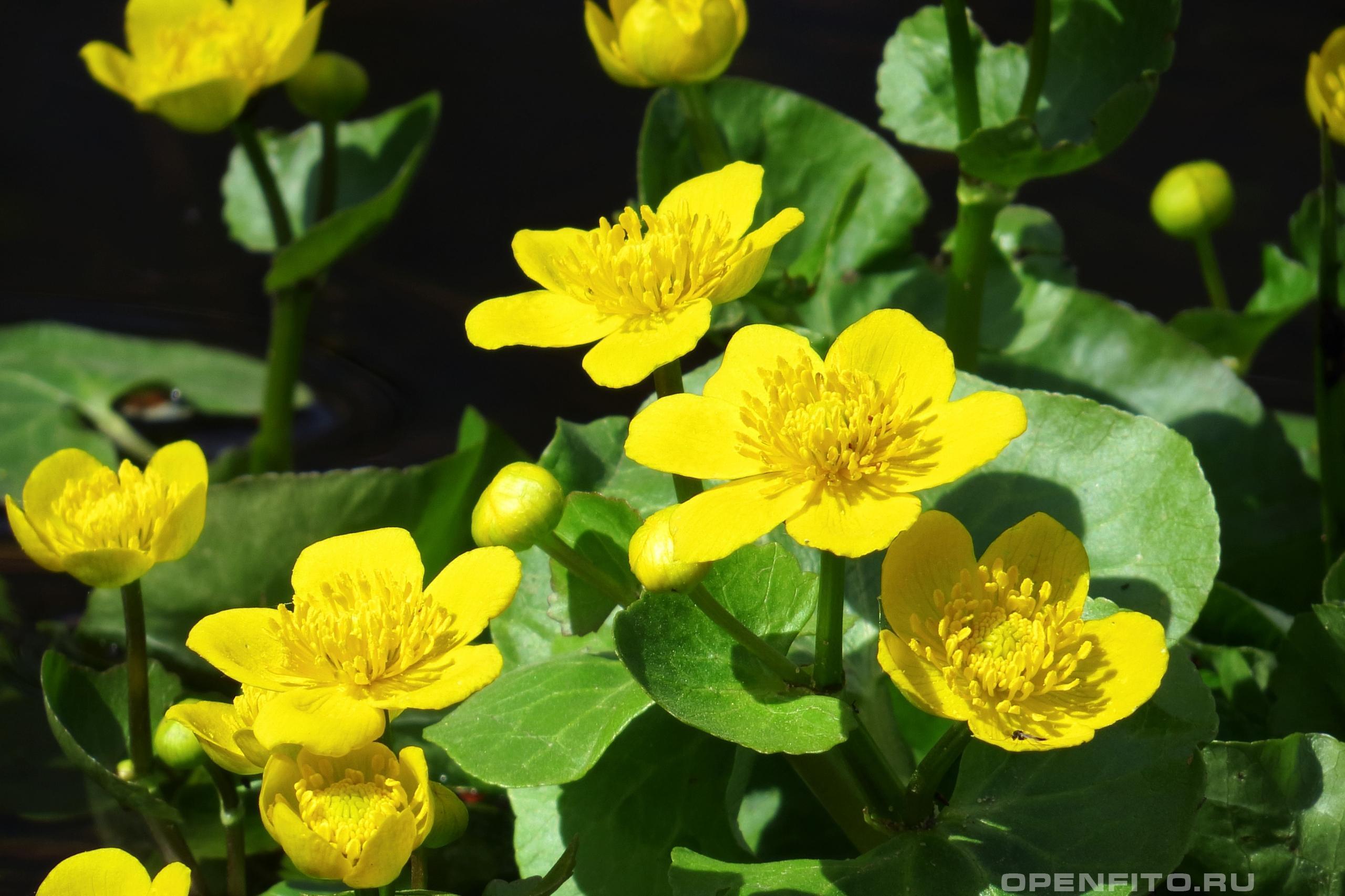 цветок калужница картинки состоит переработанного