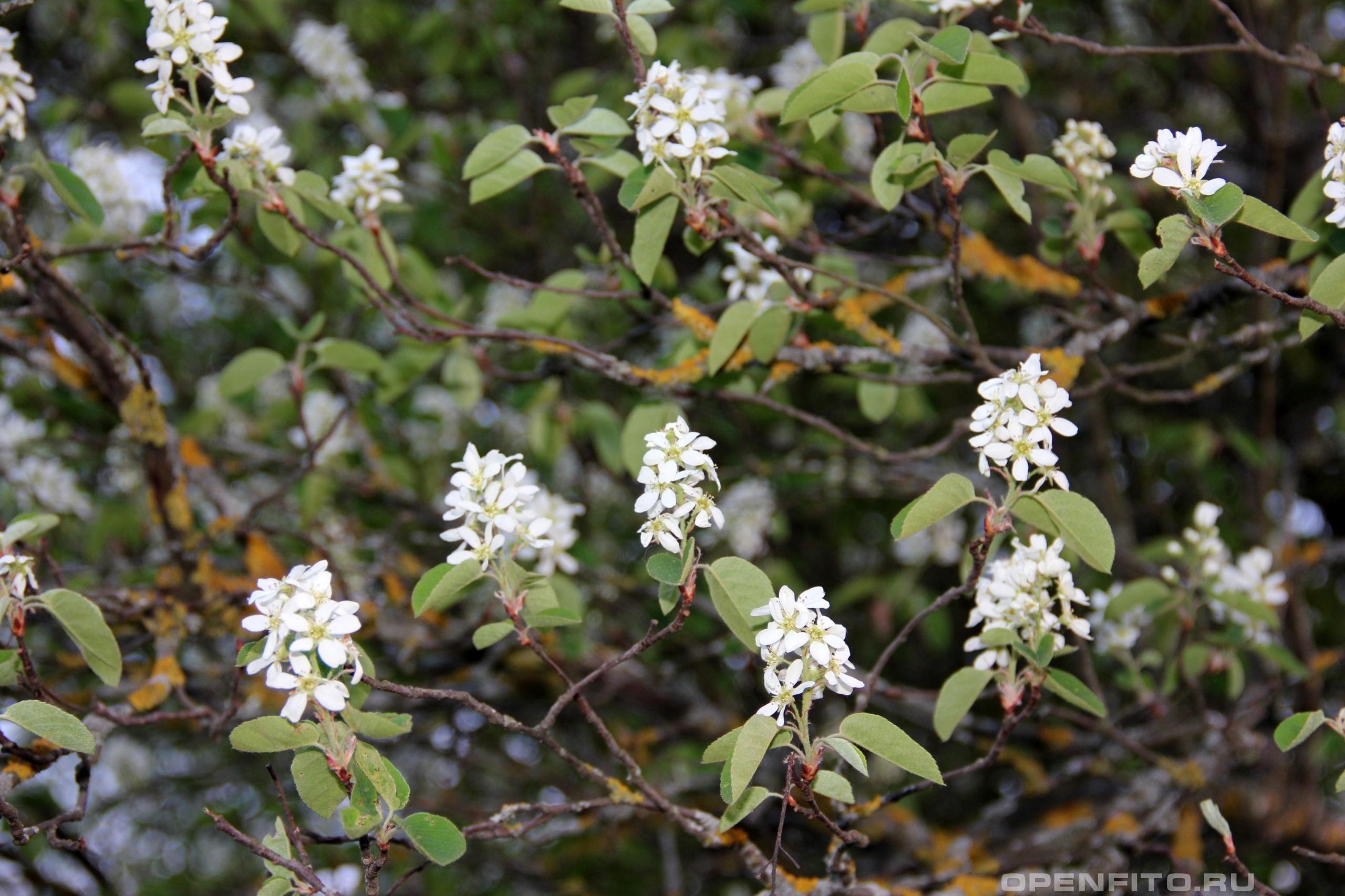 Ирга колосистая весеннее цветение ирги