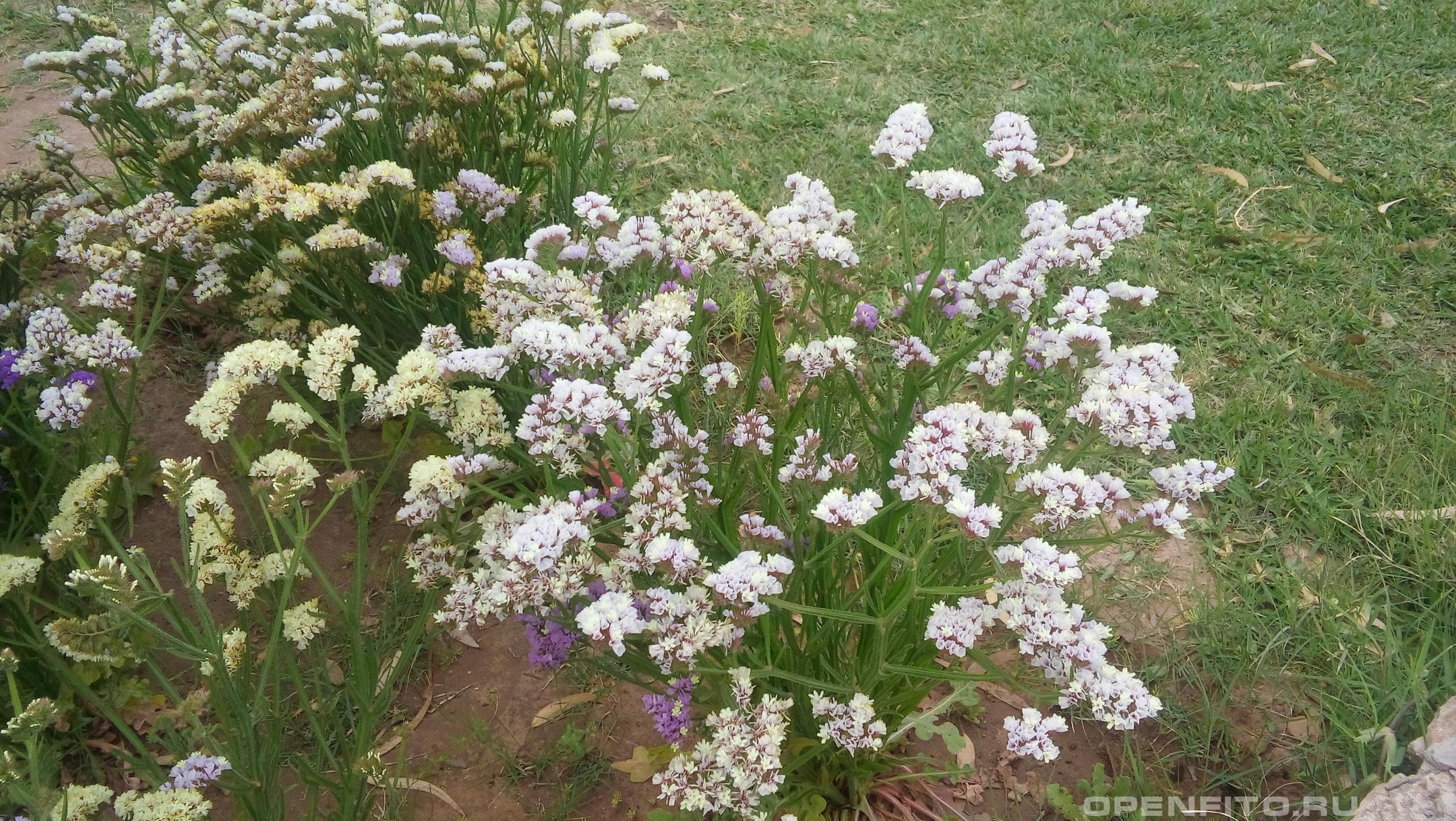 Кермек выемчатый теплолюбивое садовое растение