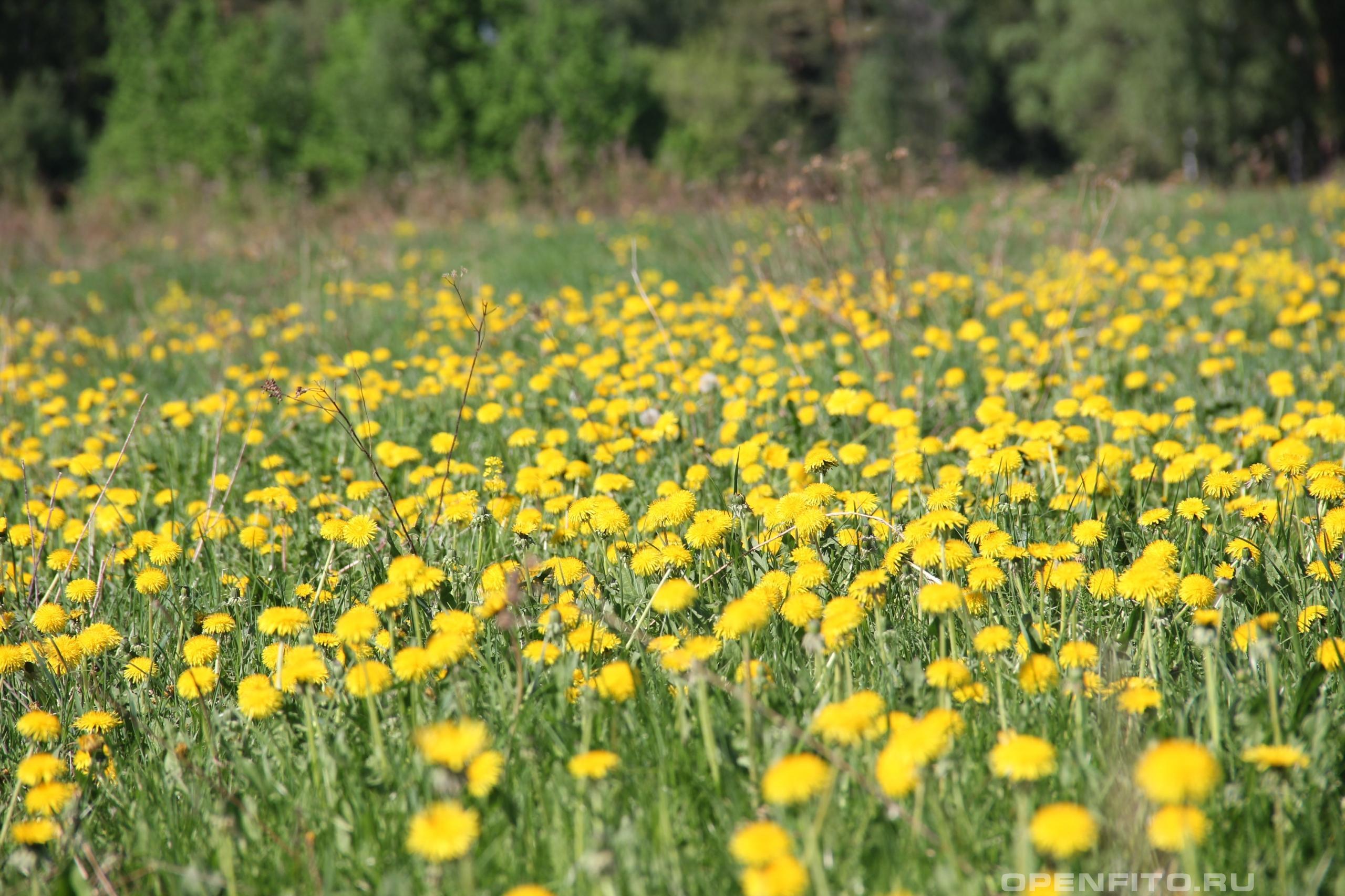 Одуванчик обыкновенный одуванчиковое поле