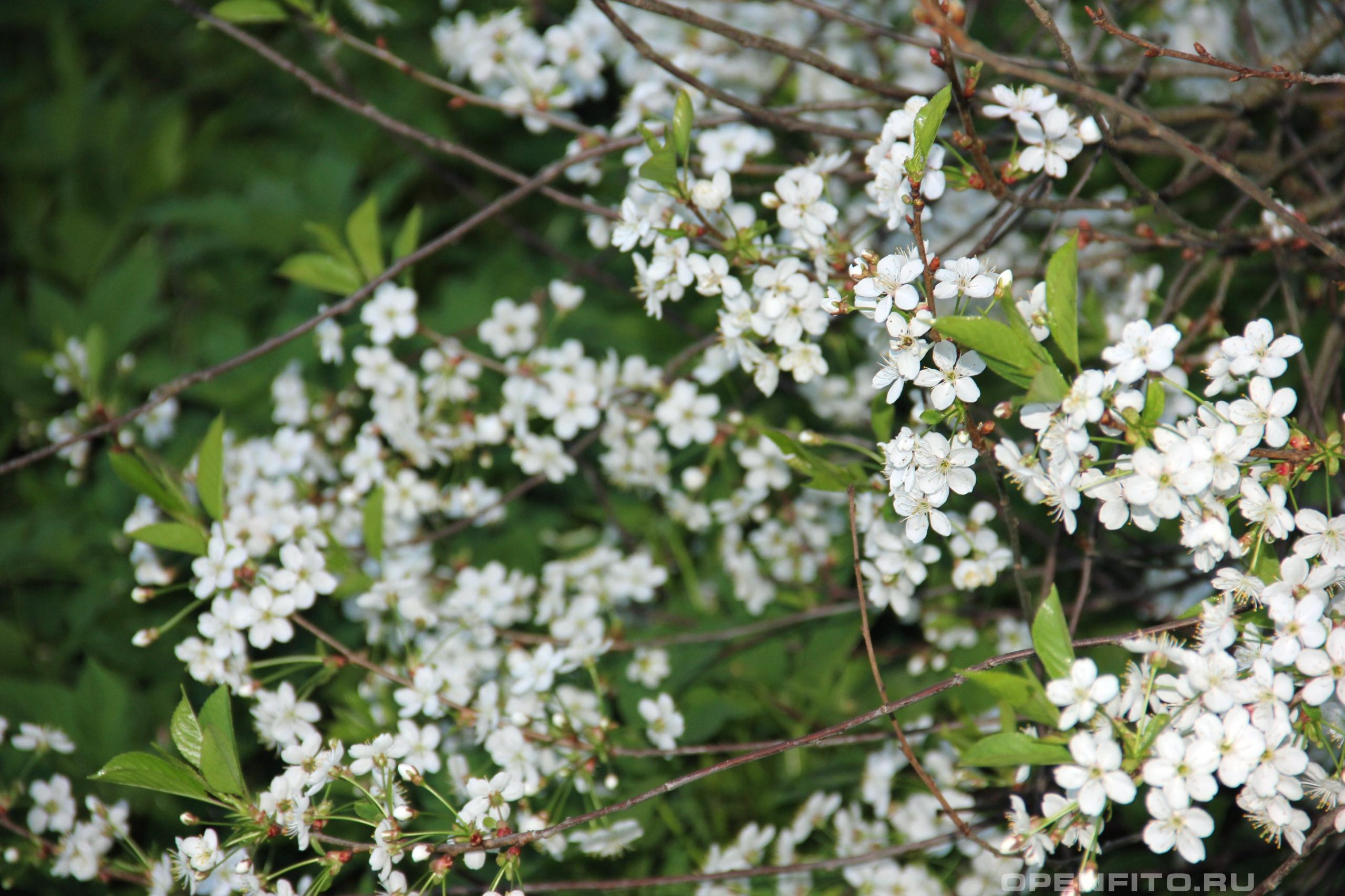 Вишня обыкновенная цветение вишни в мае
