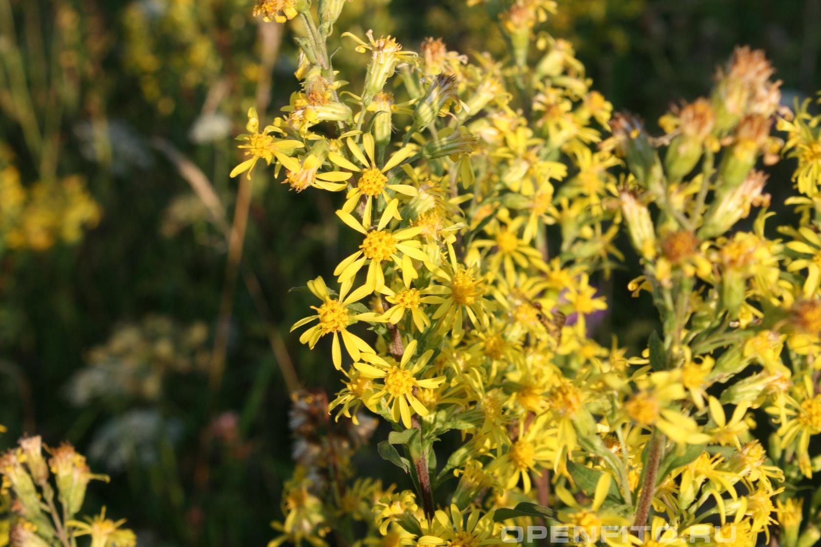 Золотарник обыкновенный Лекарственное растение