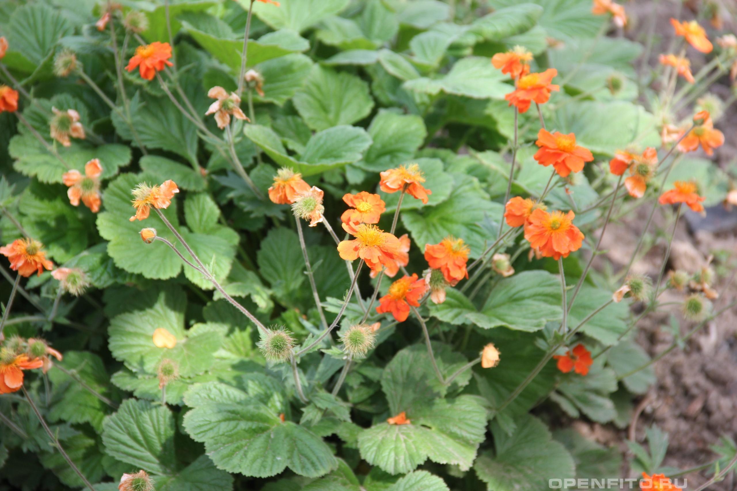 Гравилат красный садовый цветок