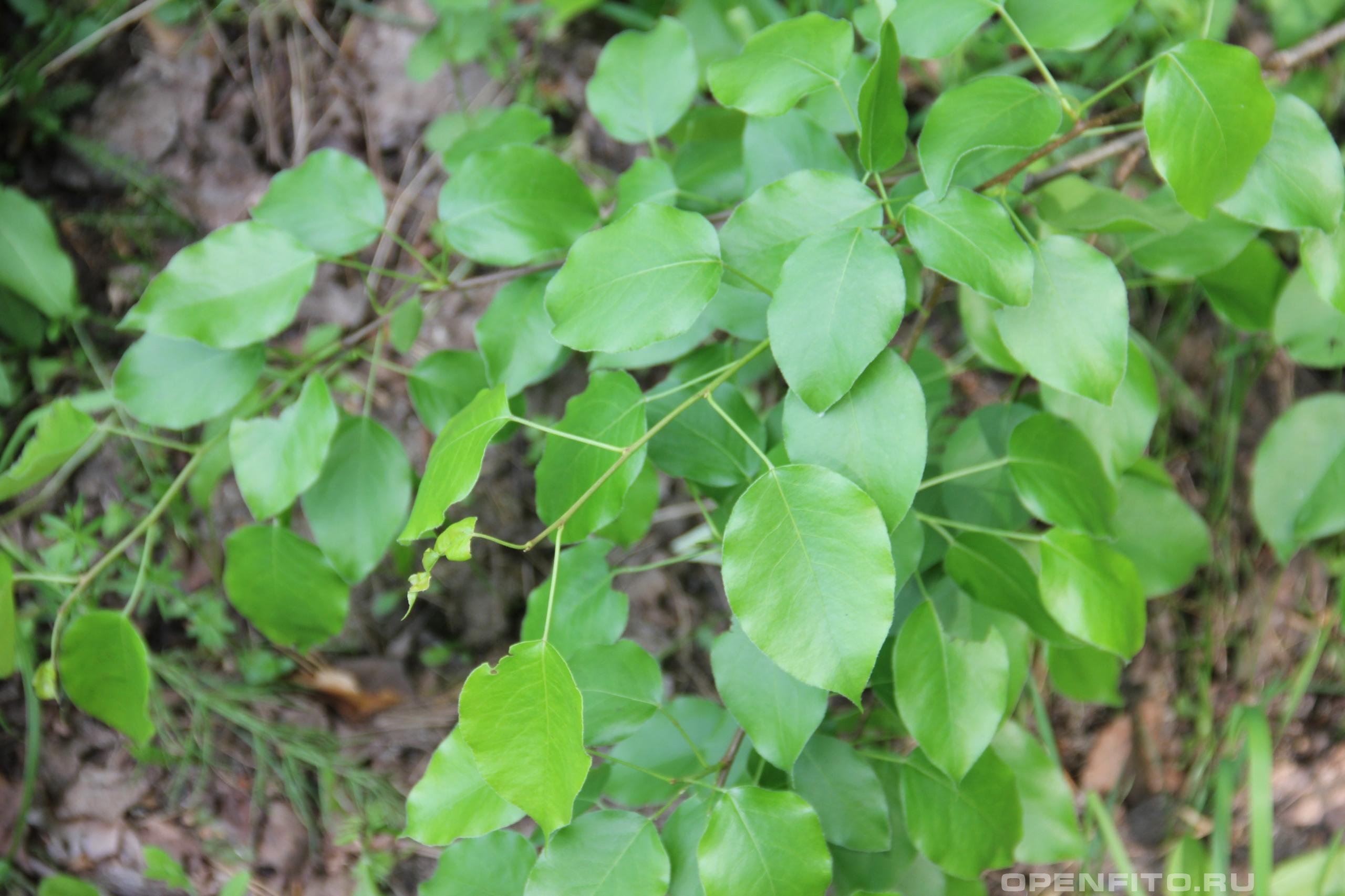 Груша обыкновенная весенние листья