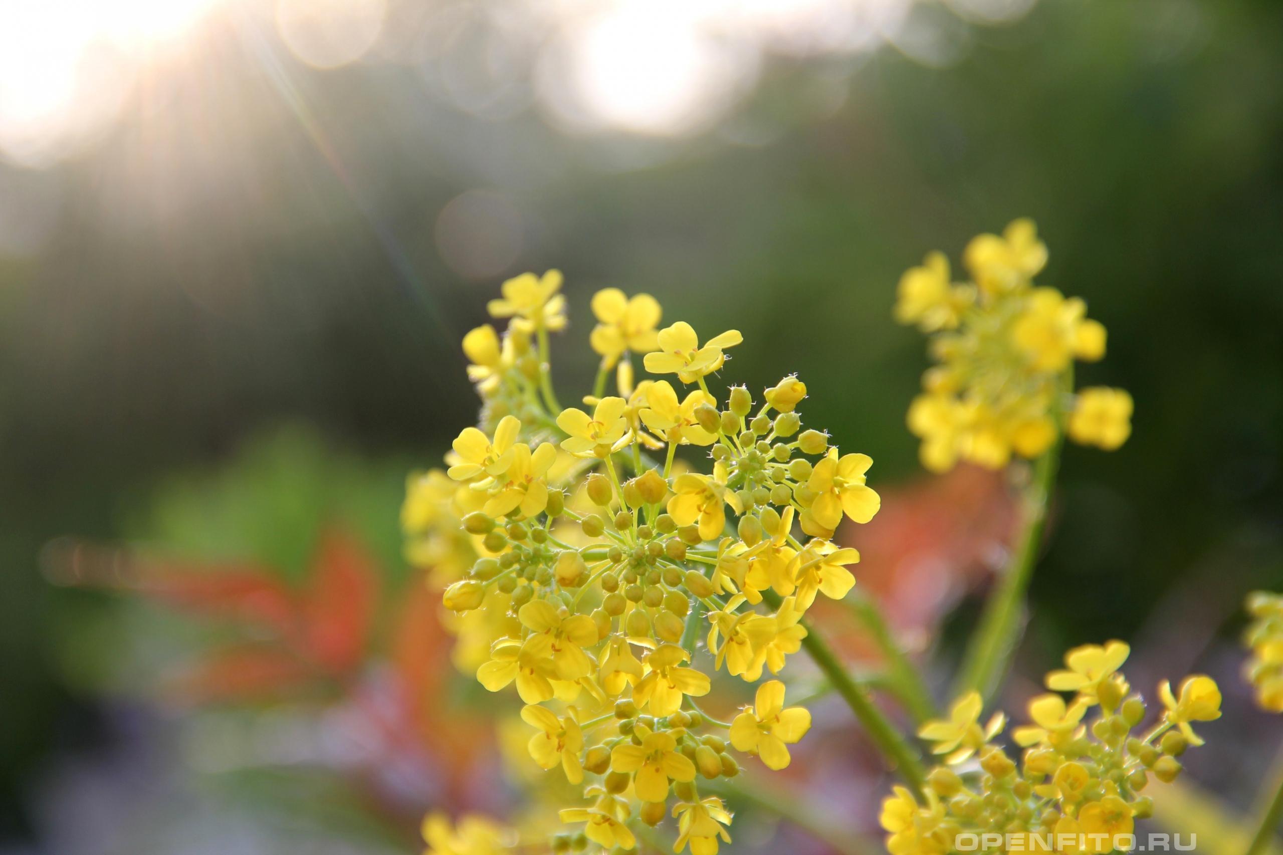 Свербига восточная фото соцветия