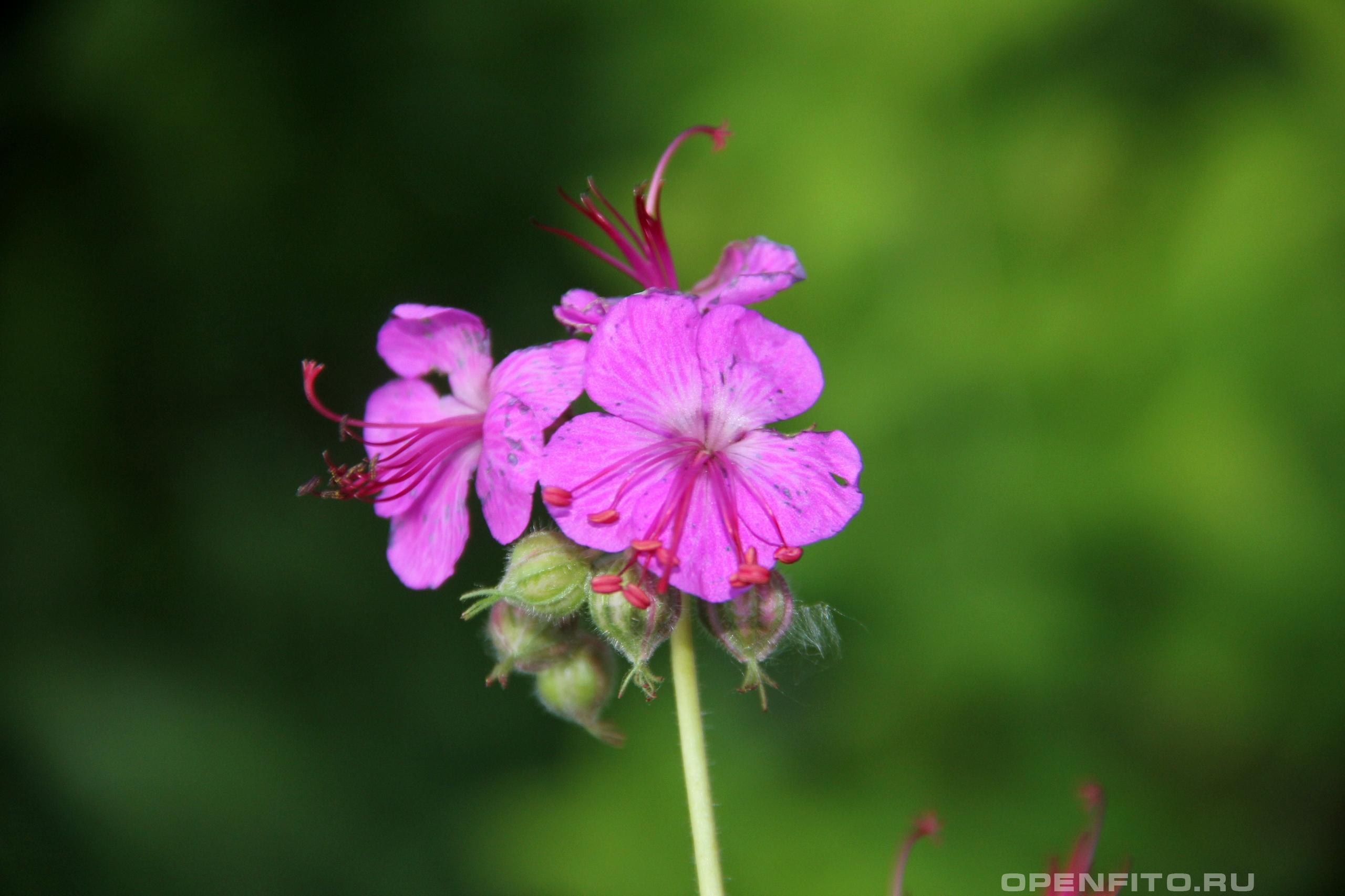 Герань крупнокорневищная садовый цветок
