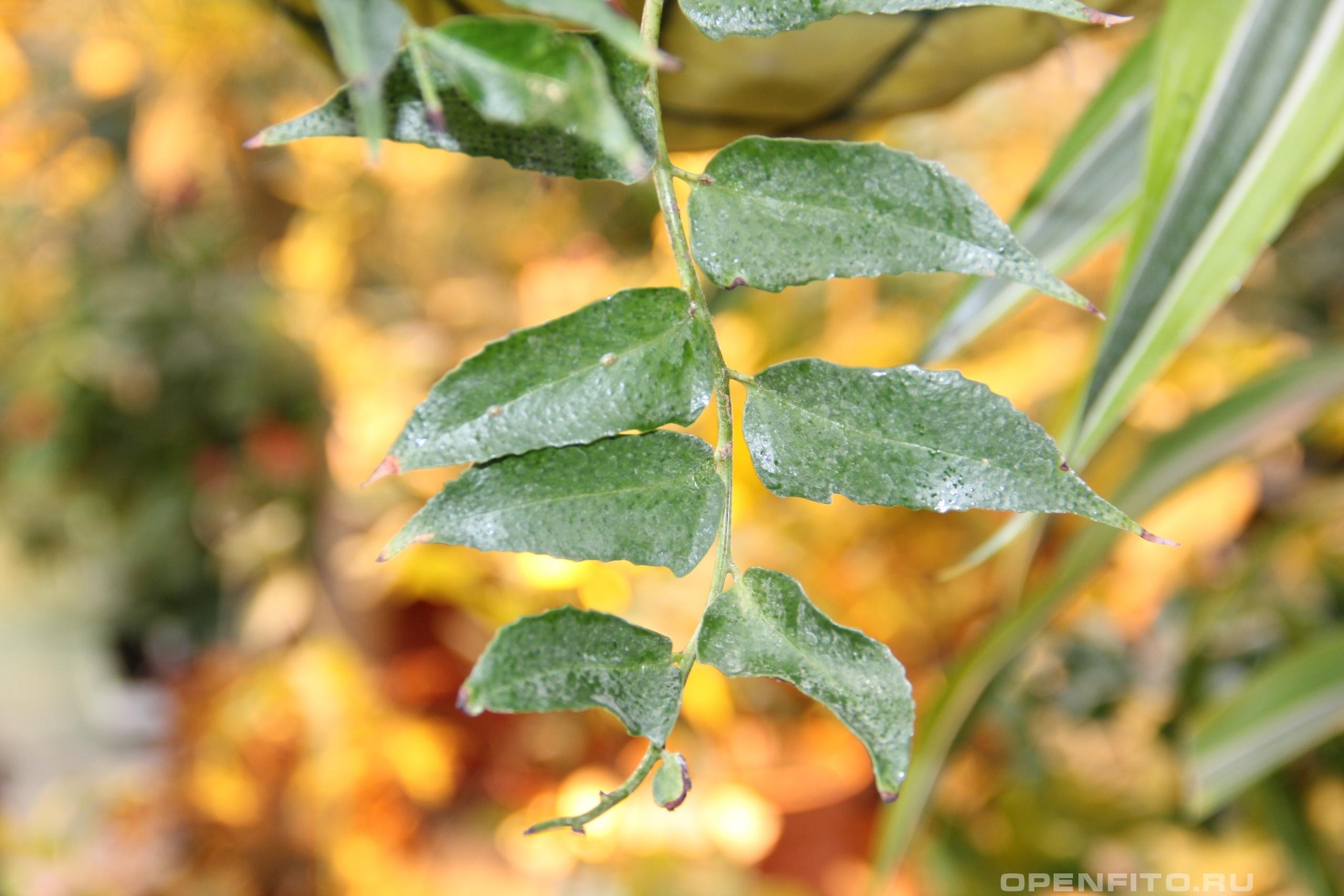 Циртомиум серповидный лист