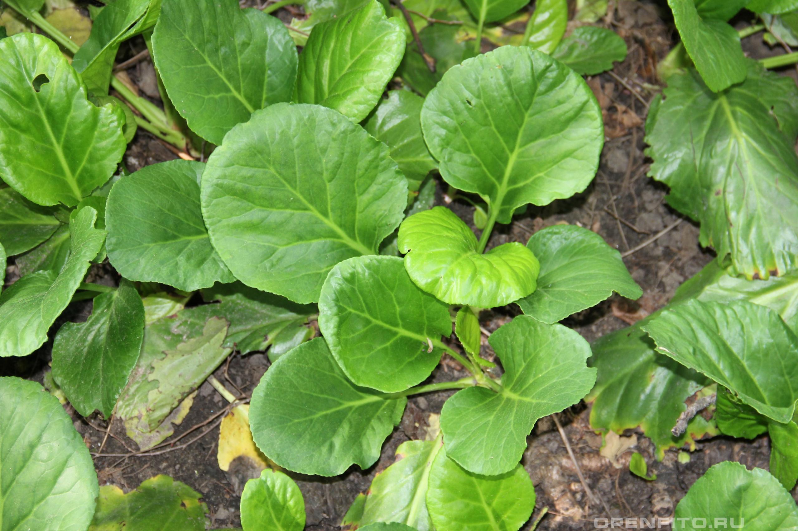 Бадан толстолистный листья растения